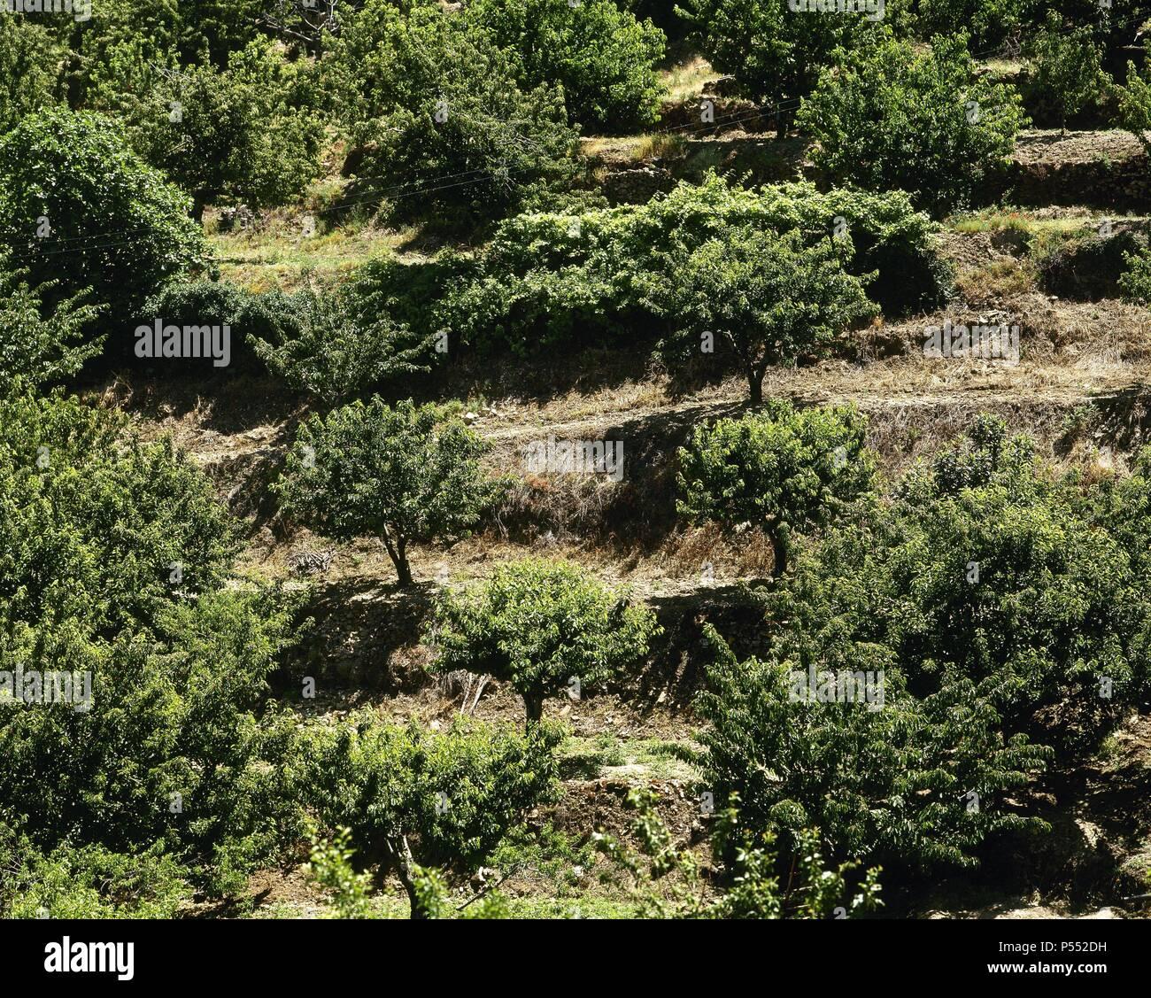 Cultivo De Cerezos En Terrazas En El Valle Del Jerte En Los