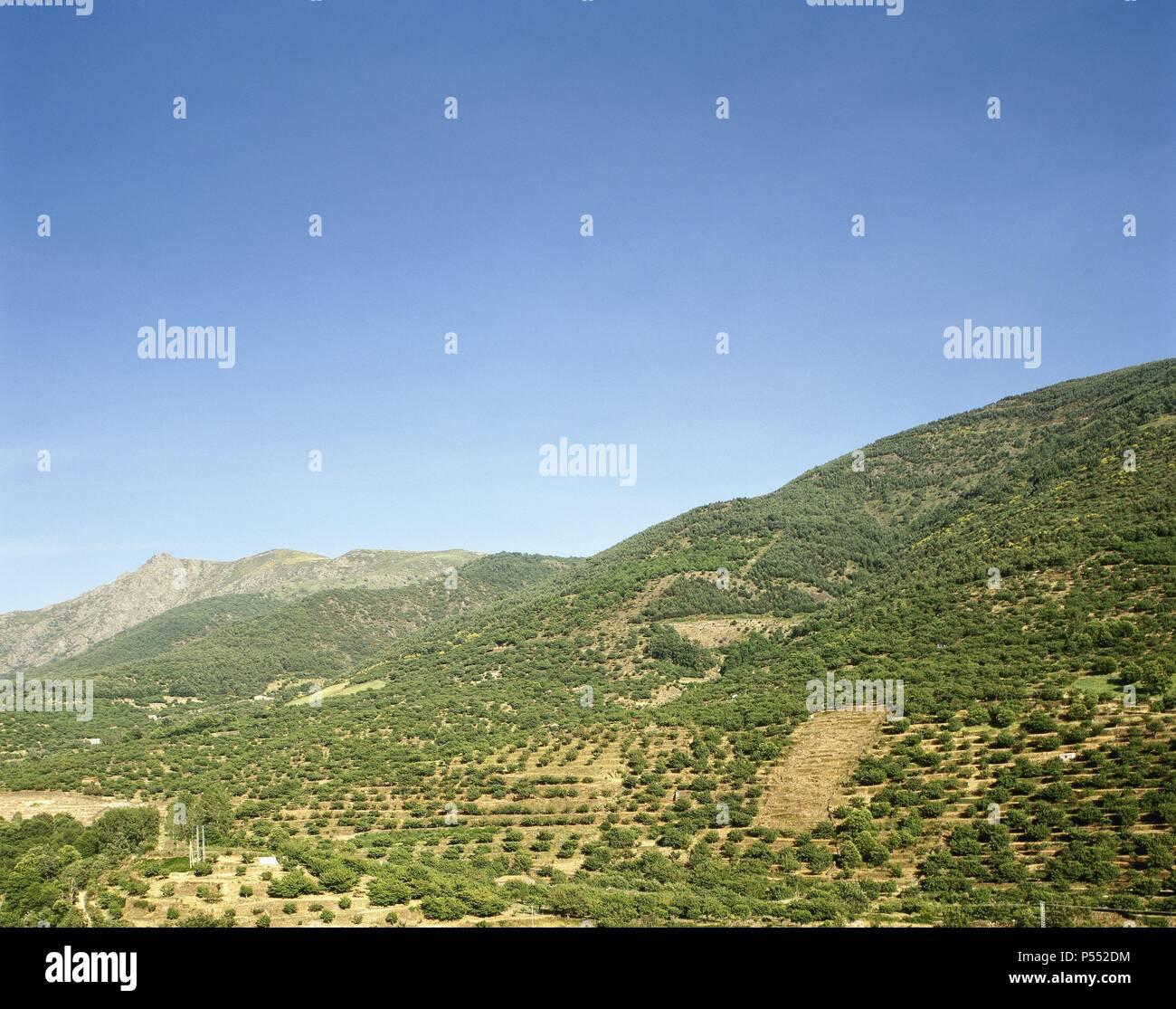 Cultivo De Cerezos En Terrazas En El Valle Del Jerte Entre