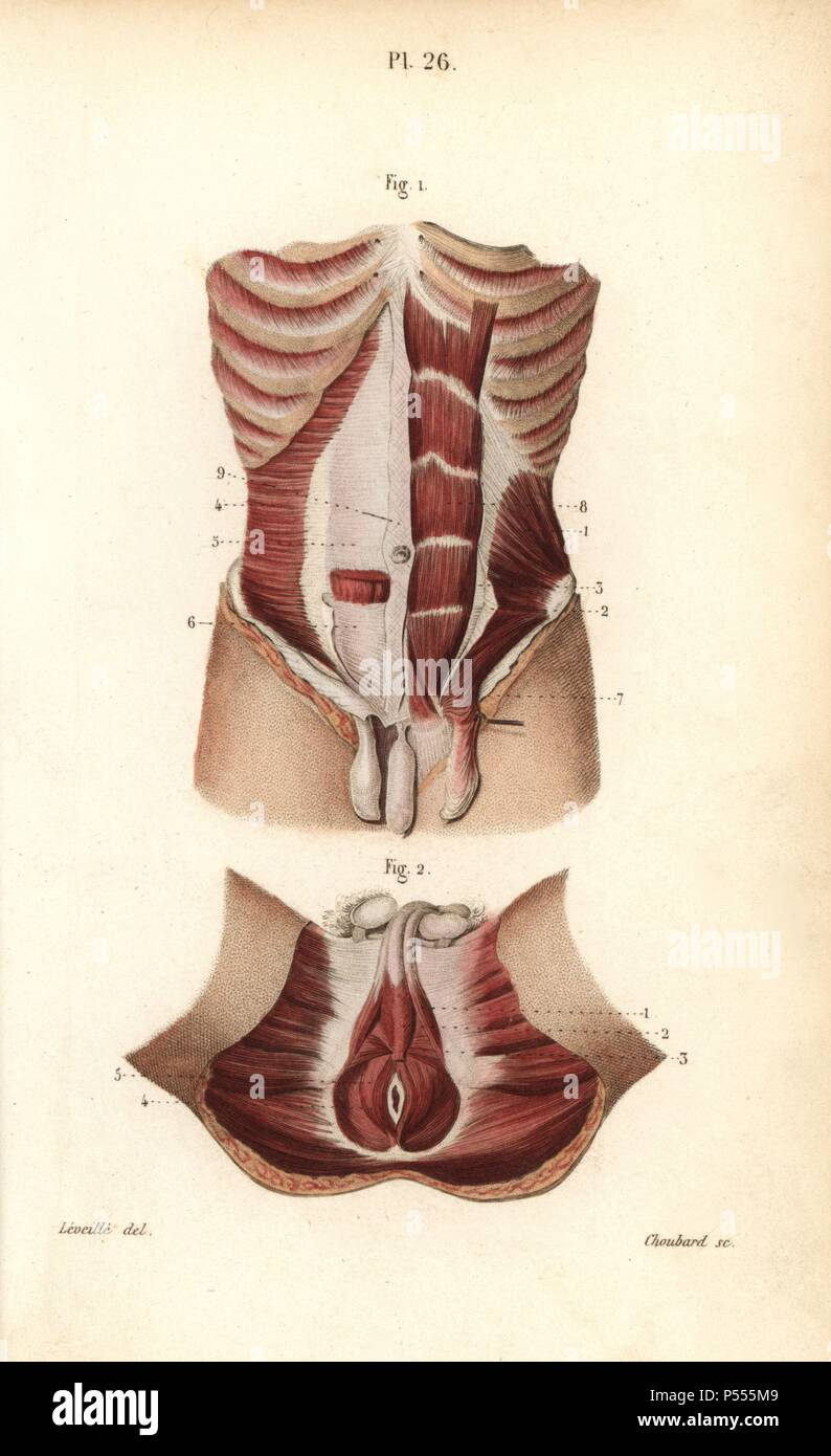 Muscles Of The Abdomen And The Male Genitals Handcolored Steel