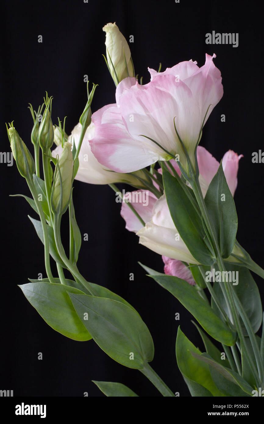 Stalk of Lisianthus flowers isolated on black background - Stock Image