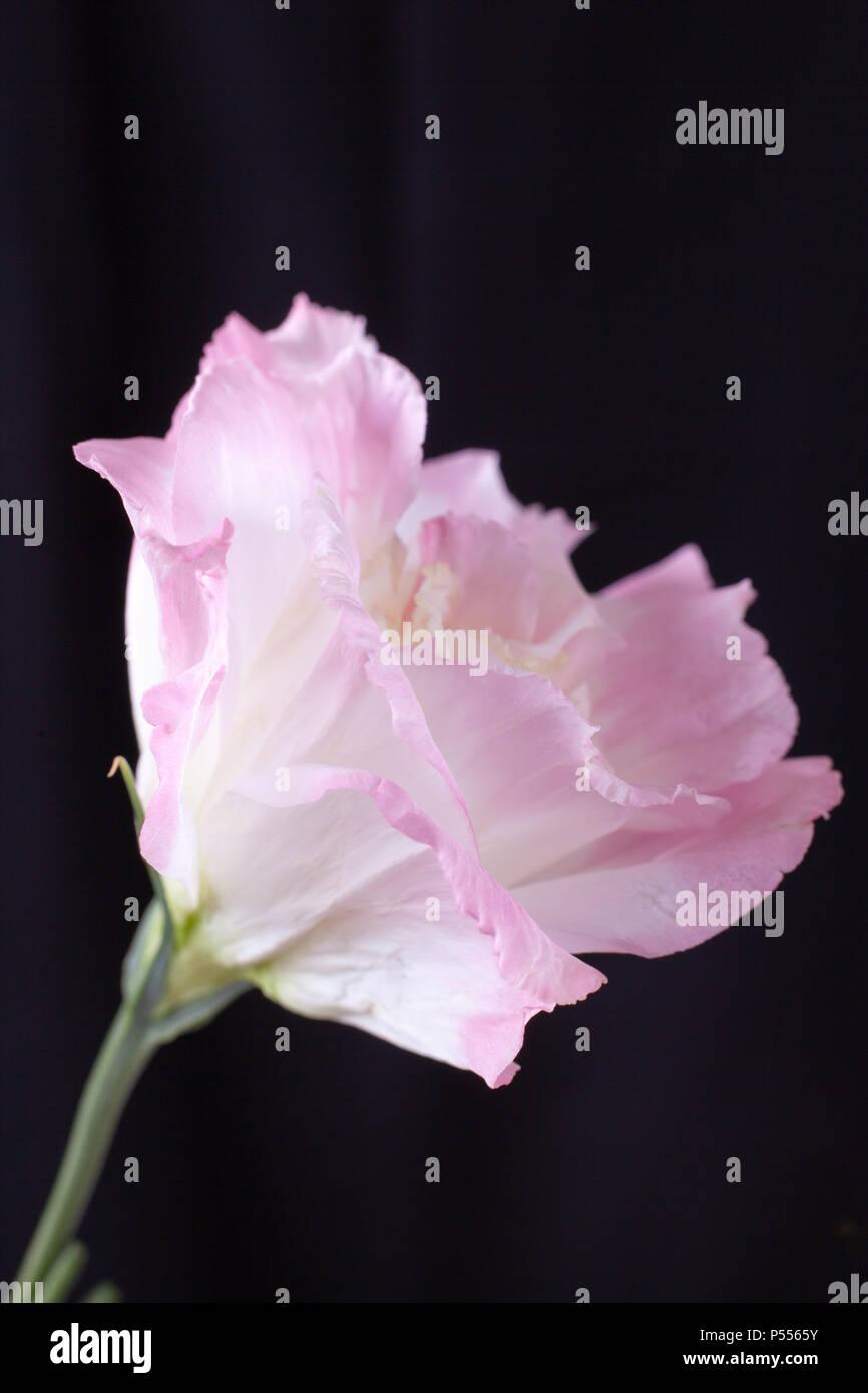 Single pink Lisianthus blossom on isolated on black background - Stock Image