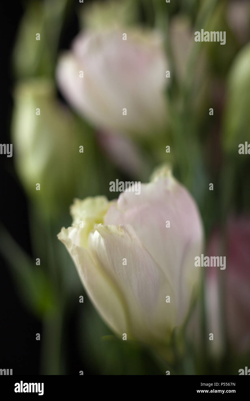 Closeup of Lisanthus buds on black background - Stock Image