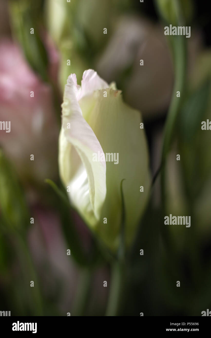 Closeup of Lisanthus bud on black background - Stock Image