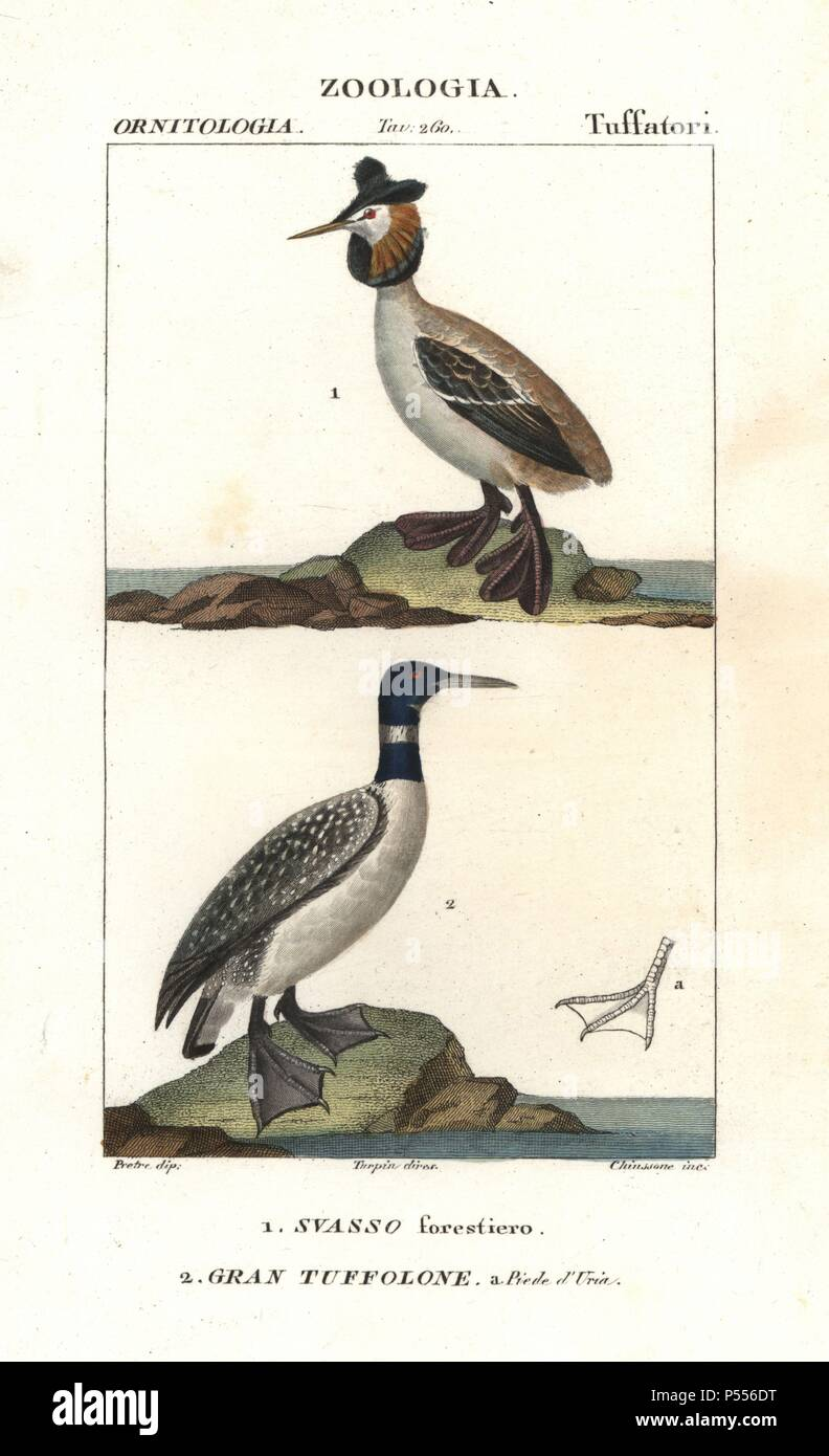 Horned or Slavonian grebe, Podiceps auritus, and great northern loon, Gavia immer. Handcoloured copperplate stipple engraving from Antoine Jussieu's 'Dictionary of Natural Science,' Florence, Italy, 1837. Illustration by J. G. Pretre, engraved by Chiussone, directed by Pierre Jean-Francois Turpin, and published by Batelli e Figli. Jean Gabriel Pretre (17801845) was painter of natural history at Empress Josephine's zoo and later became artist to the Museum of Natural History. Turpin (1775-1840) is considered one of the greatest French botanical illustrators of the 19th century. - Stock Image