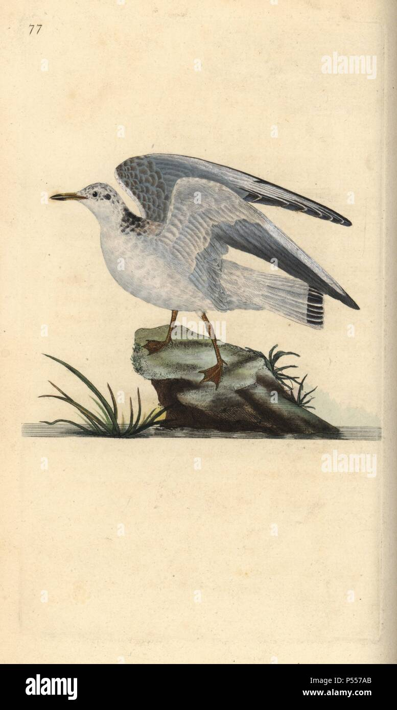 Mew or winter gull, Larus canus. Handcoloured copperplate drawn and engraved by Edward Donovan from his own 'Natural History of British Birds,' London, 1794-1819. Edward Donovan (1768-1837) was an Anglo-Irish amateur zoologist, writer, artist and engraver. He wrote and illustrated a series of volumes on birds, fish, shells and insects, opened his own museum of natural history in London, but later he fell on hard times and died penniless. - Stock Image