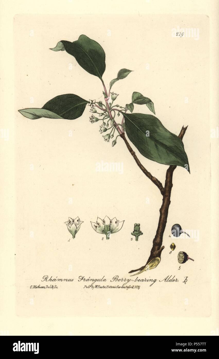 Berry Bearing Alder Or Alder Buckthorn Tree Rhamnus Frangula