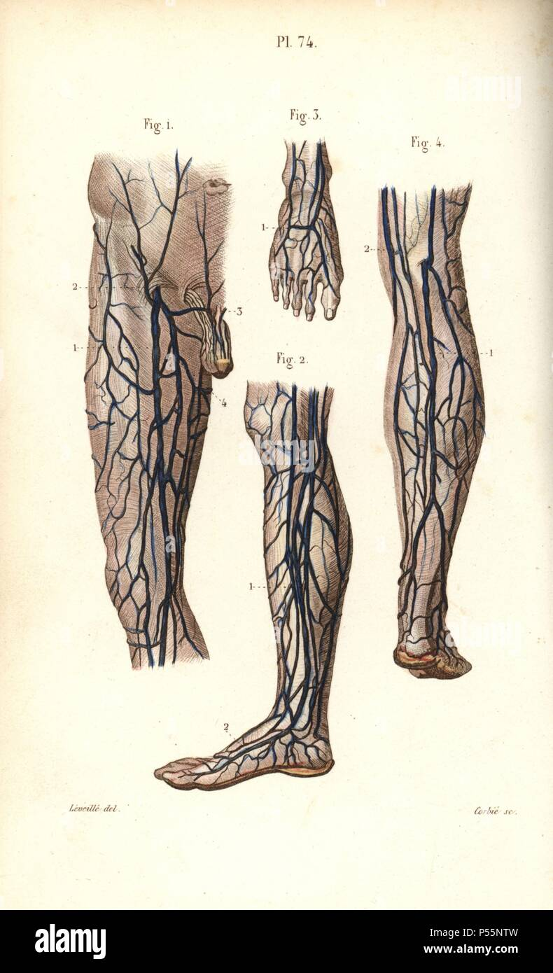 Veins To The Leg And Foot Handcolored Steel Engraving By Corbie Of