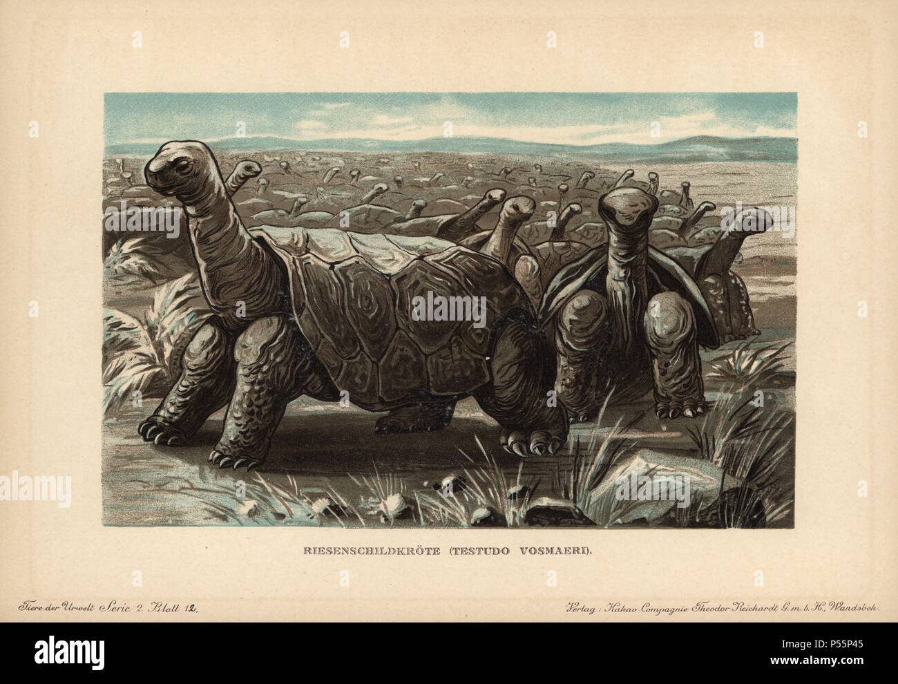 Saddle-backed Rodrigues giant tortoise, Cylindraspis vosmaeri, Testudo Indica Vosmaer, recently extinct species of tortoise. Last recorded in 1800 in Mauritius. Colour printed (chromolithograph) illustration by F. John from 'Tiere der Urwelt' Animals of the Prehistoric World, 1910, Hamburg. From a series of prehistoric creature cards published by the Reichardt Cocoa company. - Stock Image