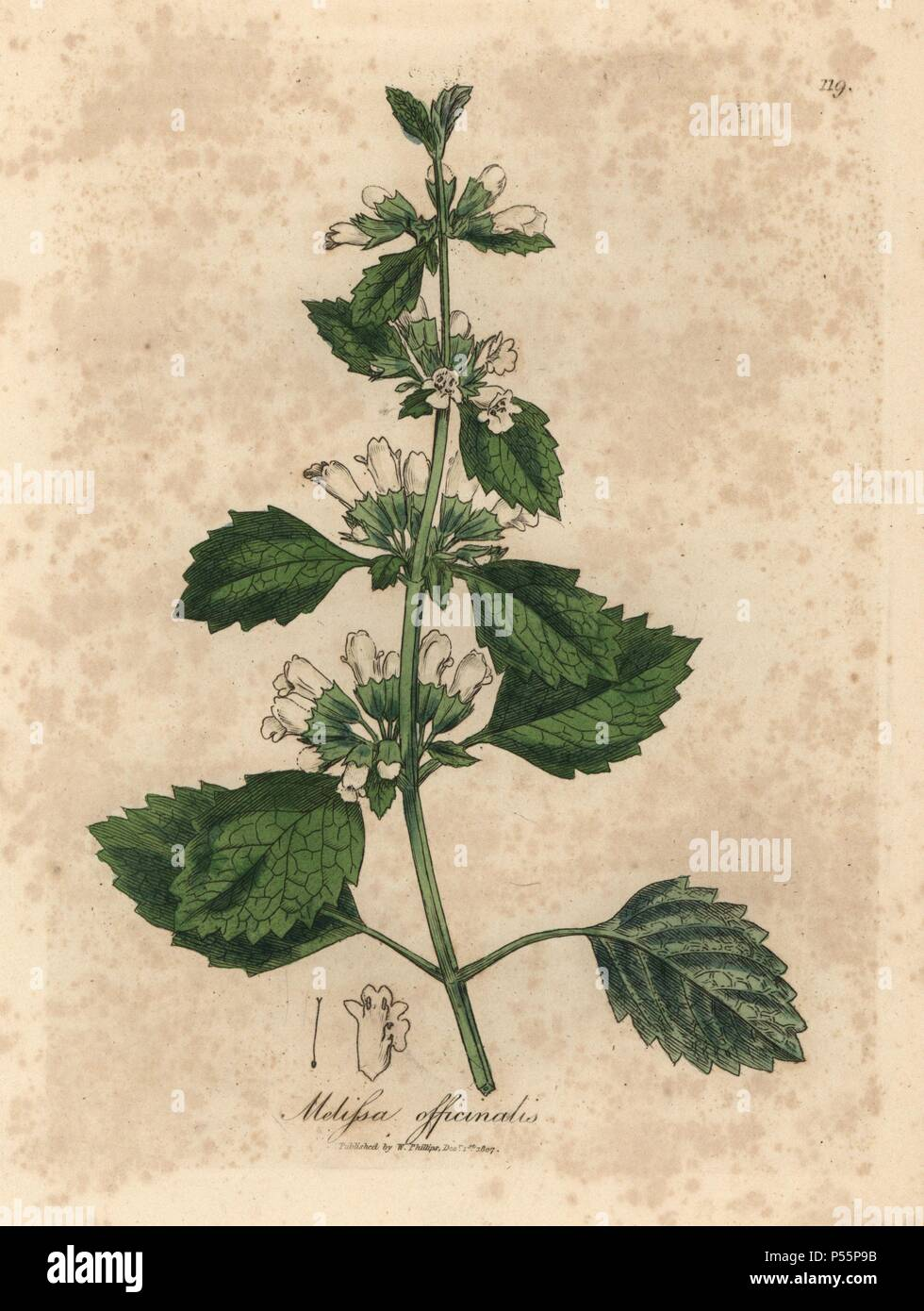 Common balm, Melissa officinalis. Handcoloured copperplate engraving from a botanical illustration by James Sowerby from William Woodville and Sir William Jackson Hooker's 'Medical Botany,' John Bohn, London, 1832. The tireless Sowerby (1757-1822) drew over 2, 500 plants for Smith's mammoth 'English Botany' (1790-1814) and 440 mushrooms for 'Coloured Figures of English Fungi ' (1797) among many other works. - Stock Image
