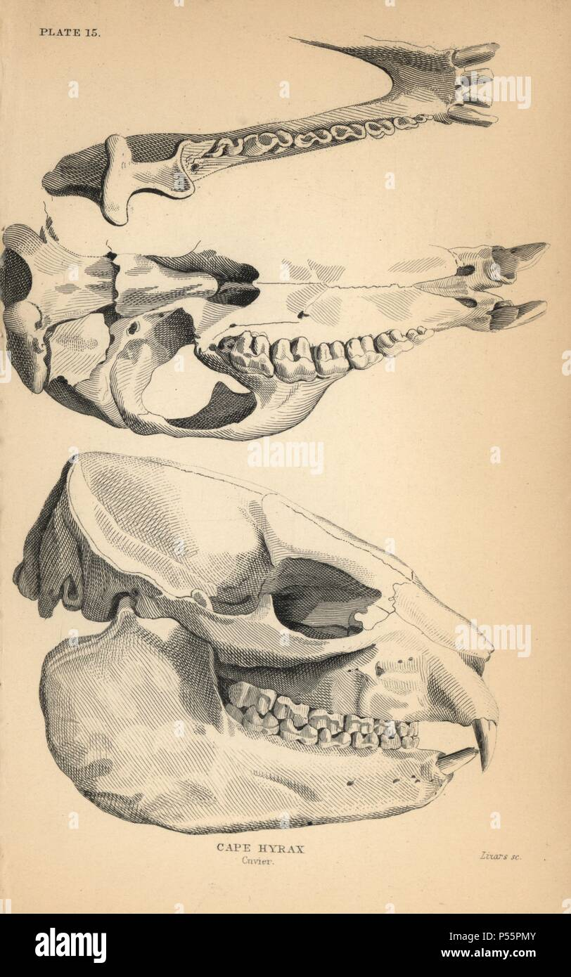 Skull and jaw structure of the cape hyrax, Procavia capensis. Engraving on steel by William Lizars from Sir William Jardine's 'Naturalist's Library: Mammalia, Pachydermes or Thick-Skinned Quadrupeds' published by W. H. Lizars, Edinburgh, 1836. - Stock Image