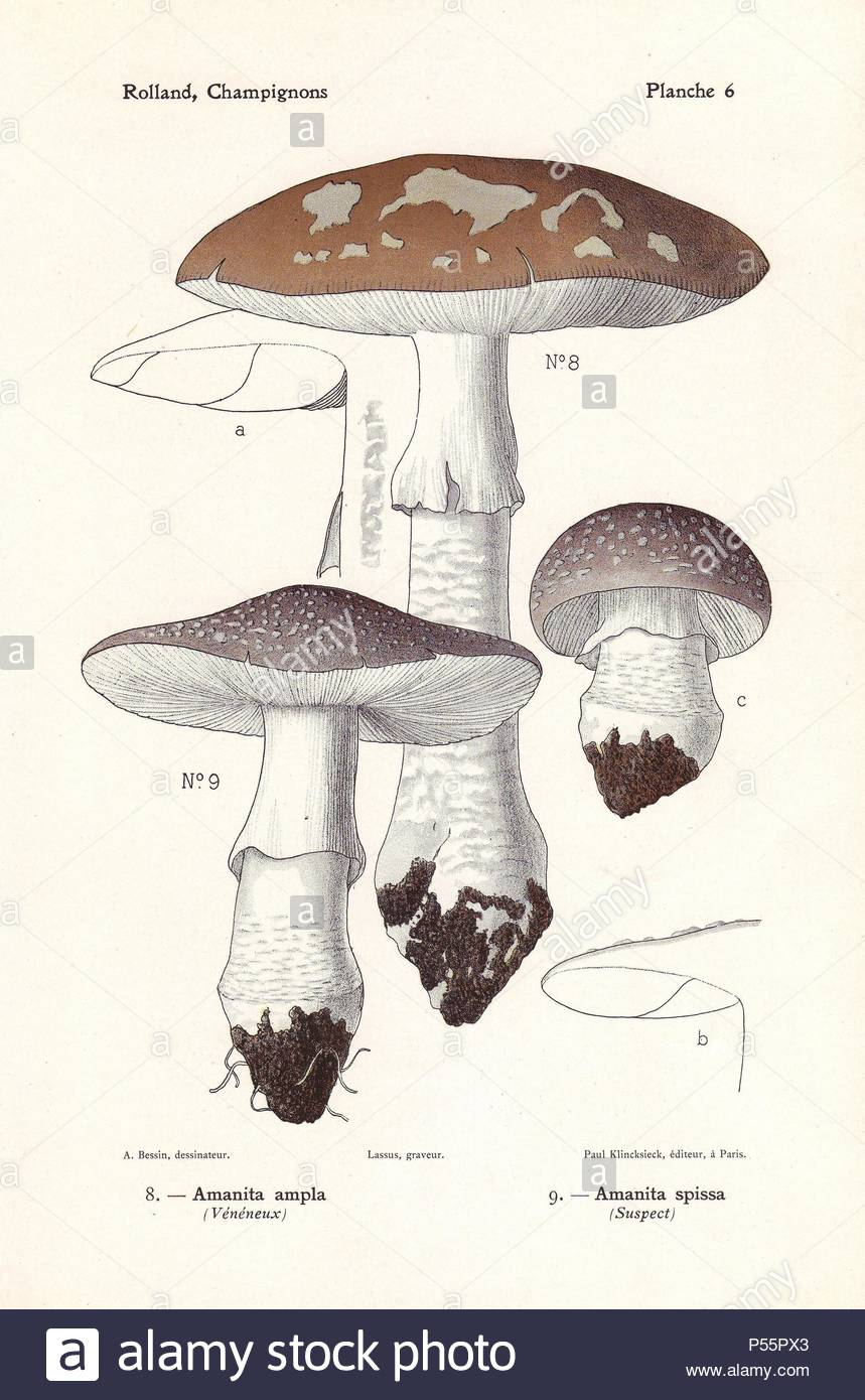 Poisonous Aminata Excelsa Mushroom Amanita Ampla Grey Spotted Spissa Chromolithograph Drawn By Bessin For Leon Rollands Atlas Des