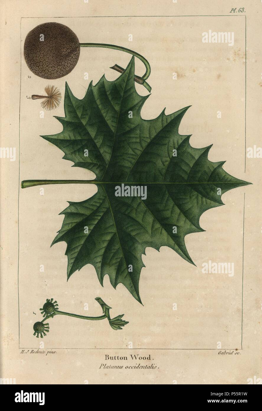 Leaf, fruit, flower and seed of the Buttonwood or sycamore maple tree, Platanus occidentalis. Handcolored stipple engraving from a botanical illustration by Henri Joseph Redoute, engraved on copper by Gabriel, from Francois Andre Michaux's 'North American Sylva,' Philadelphia, 1857. French botanist Michaux (1770-1855) explored America and Canada in 1785 cataloging its native trees. - Stock Image