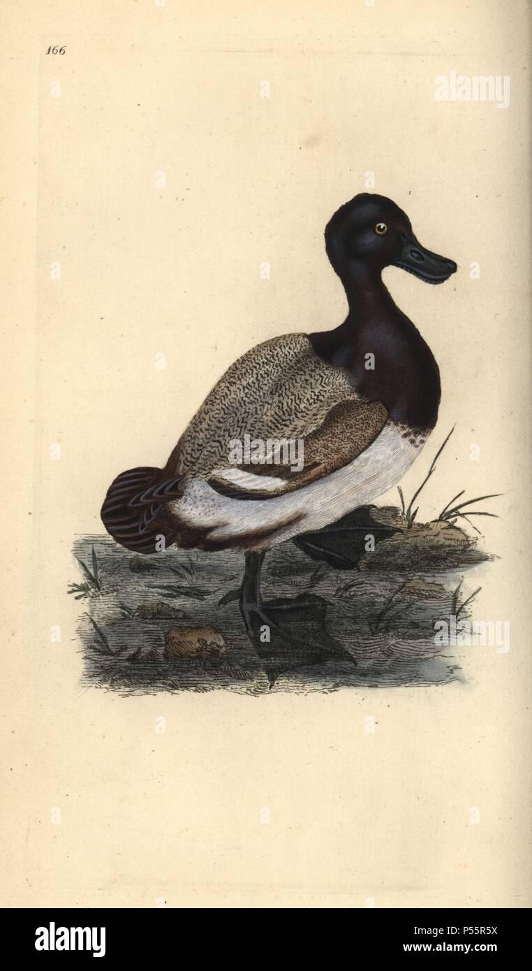 5b3cdbbb3d0 Greater scaup duck