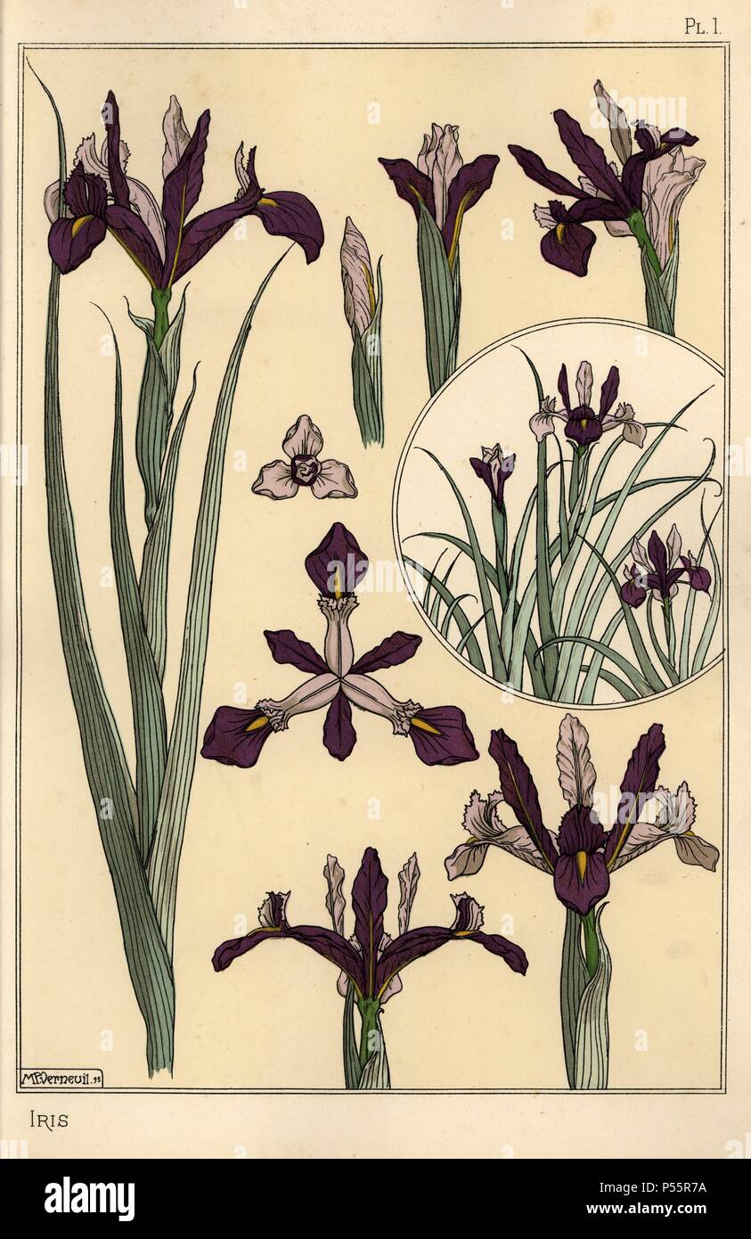 Iris Plant And Flower Parts With Inset Lithograph By Verneuil