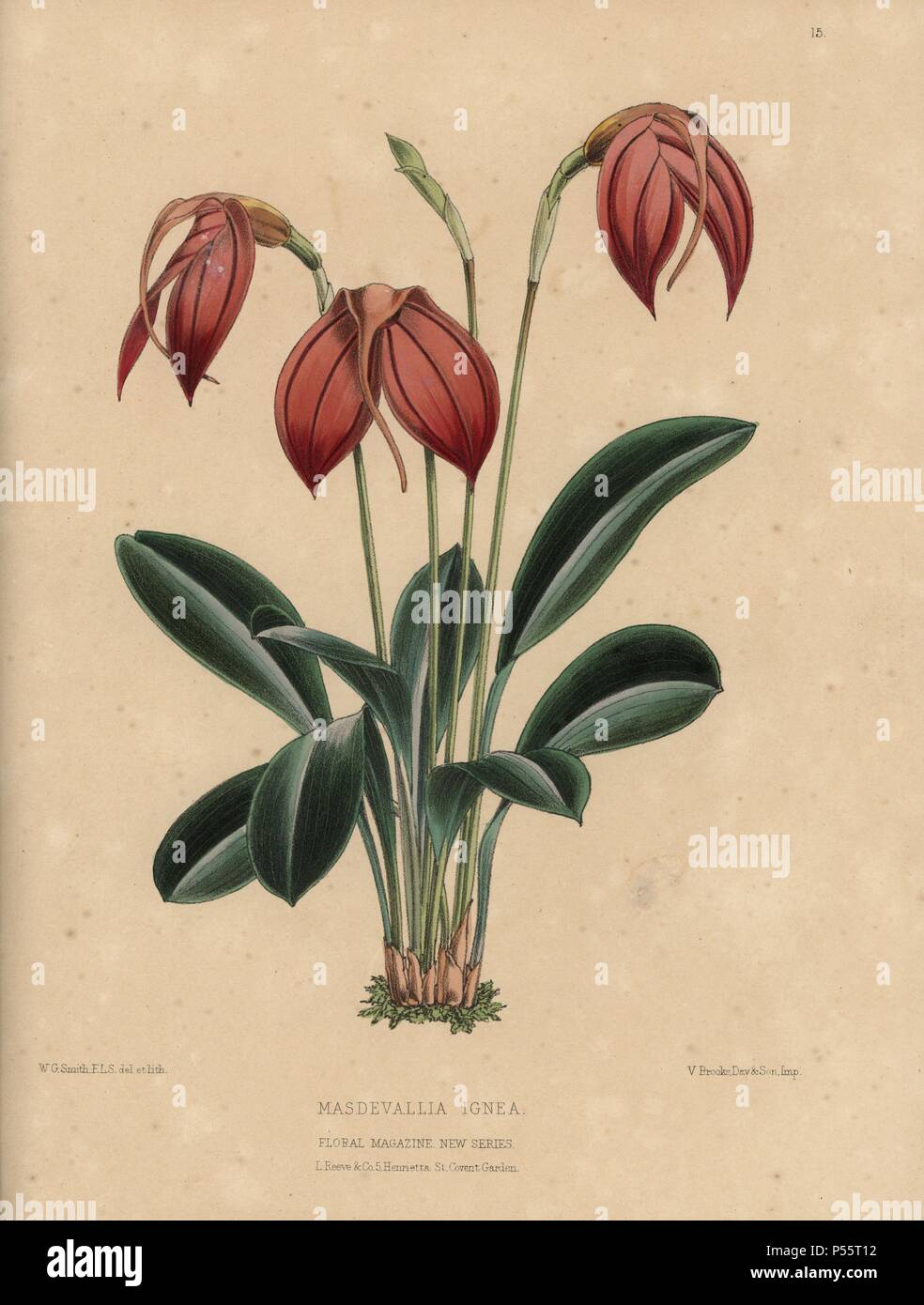 Masdevallia ignea orchid with orange flowers. Handcolored botanical drawn and lithographed by W.G. Smith from H.H. Dombrain's 'Floral Magazine' 1872.. Worthington G. Smith (1835-1917), architect, engraver and mycologist. Smith also illustrated 'The Gardener's Chronicle.' Henry Honywood Dombrain (1818-1905), clergyman gardener, was editor of the 'Floral Magazine' from 1862 to 1873. - Stock Image