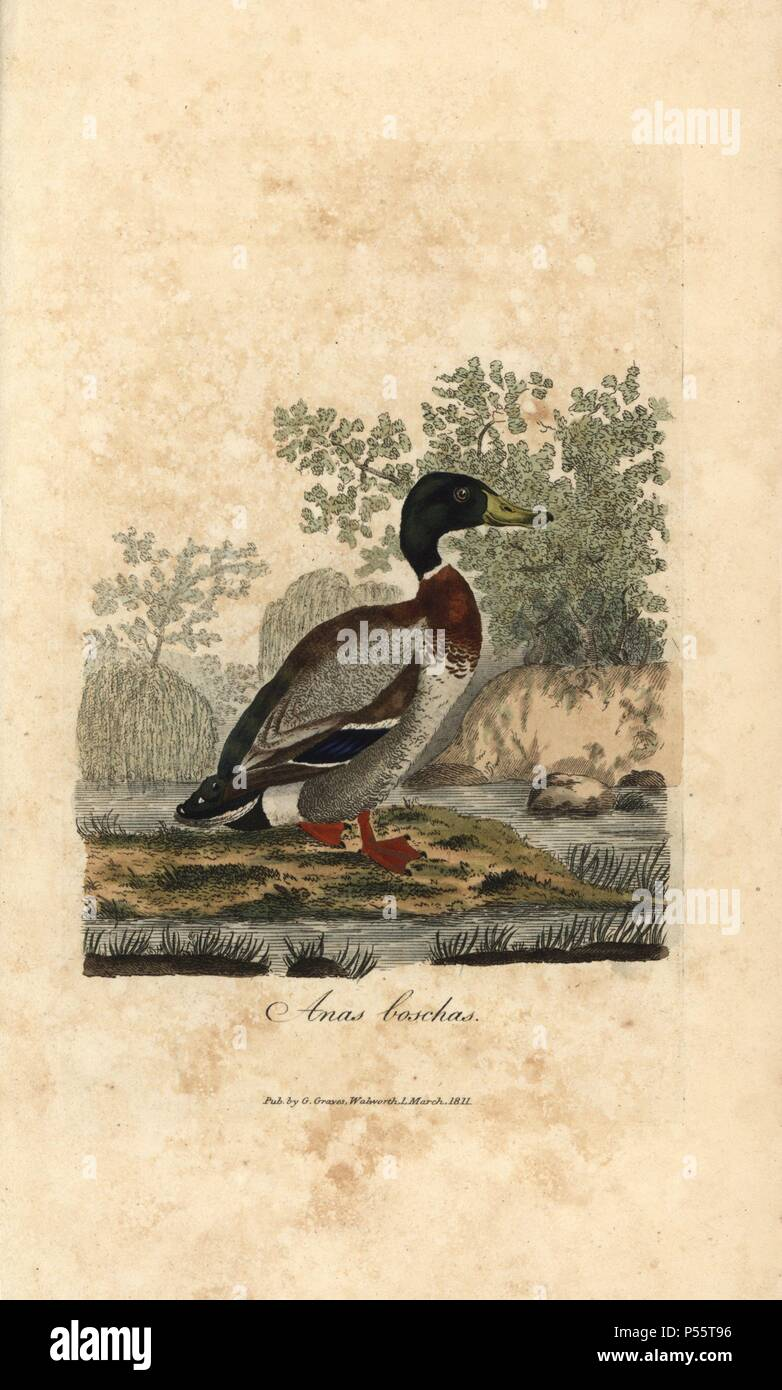 Mallard, Anas boschas, wild duck, Anas platyrhynchos  Handcoloured