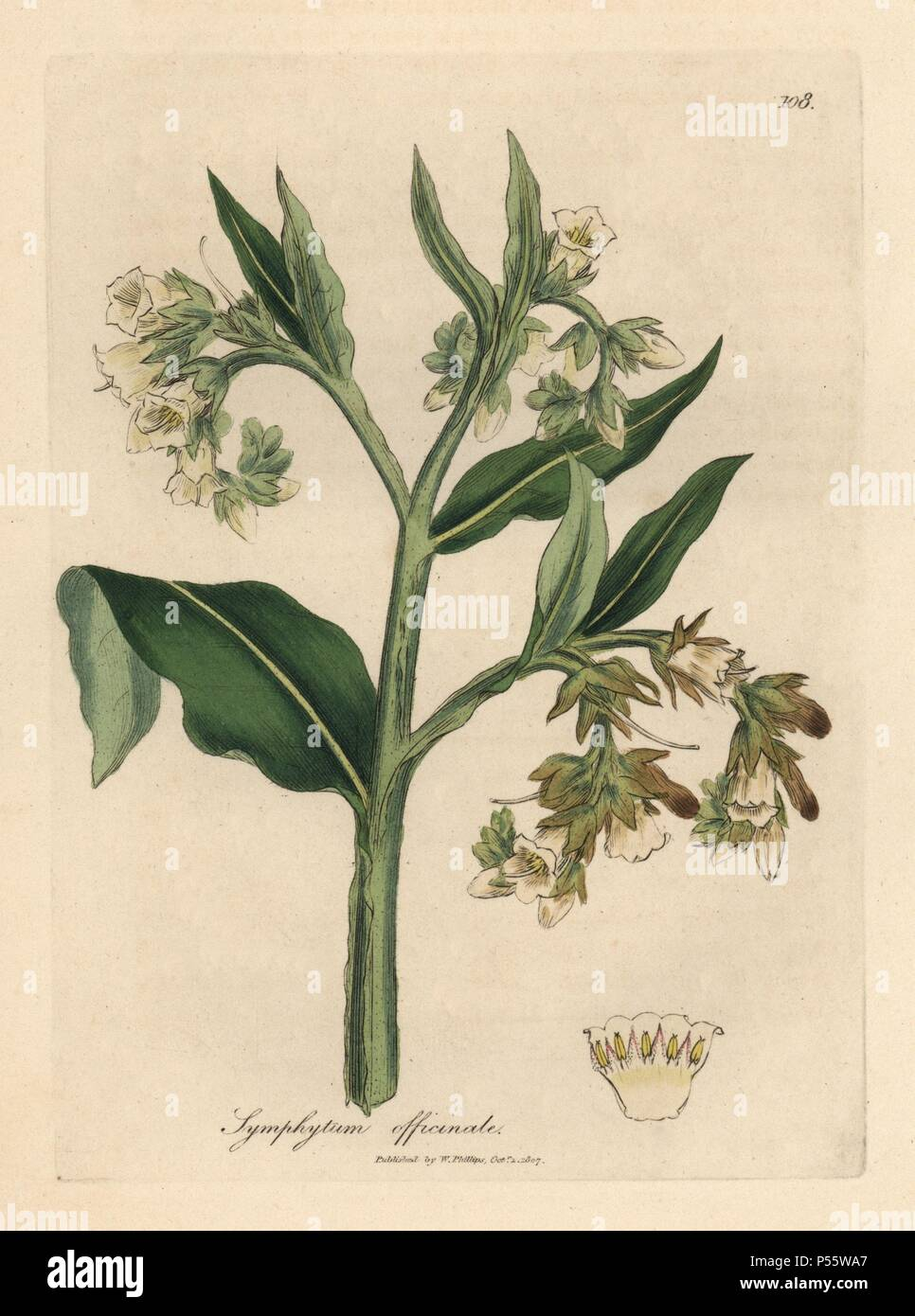 "Comfrey, Symphytum officinale. Handcoloured copperplate engraving from a botanical illustration by James Sowerby from William Woodville and Sir William Jackson Hooker's ""Medical Botany,"" John Bohn, London, 1832. The tireless Sowerby (1757-1822) drew over 2, 500 plants for Smith's mammoth ""English Botany"" (1790-1814) and 440 mushrooms for ""Coloured Figures of English Fungi "" (1797) among many other works. Stock Photo"