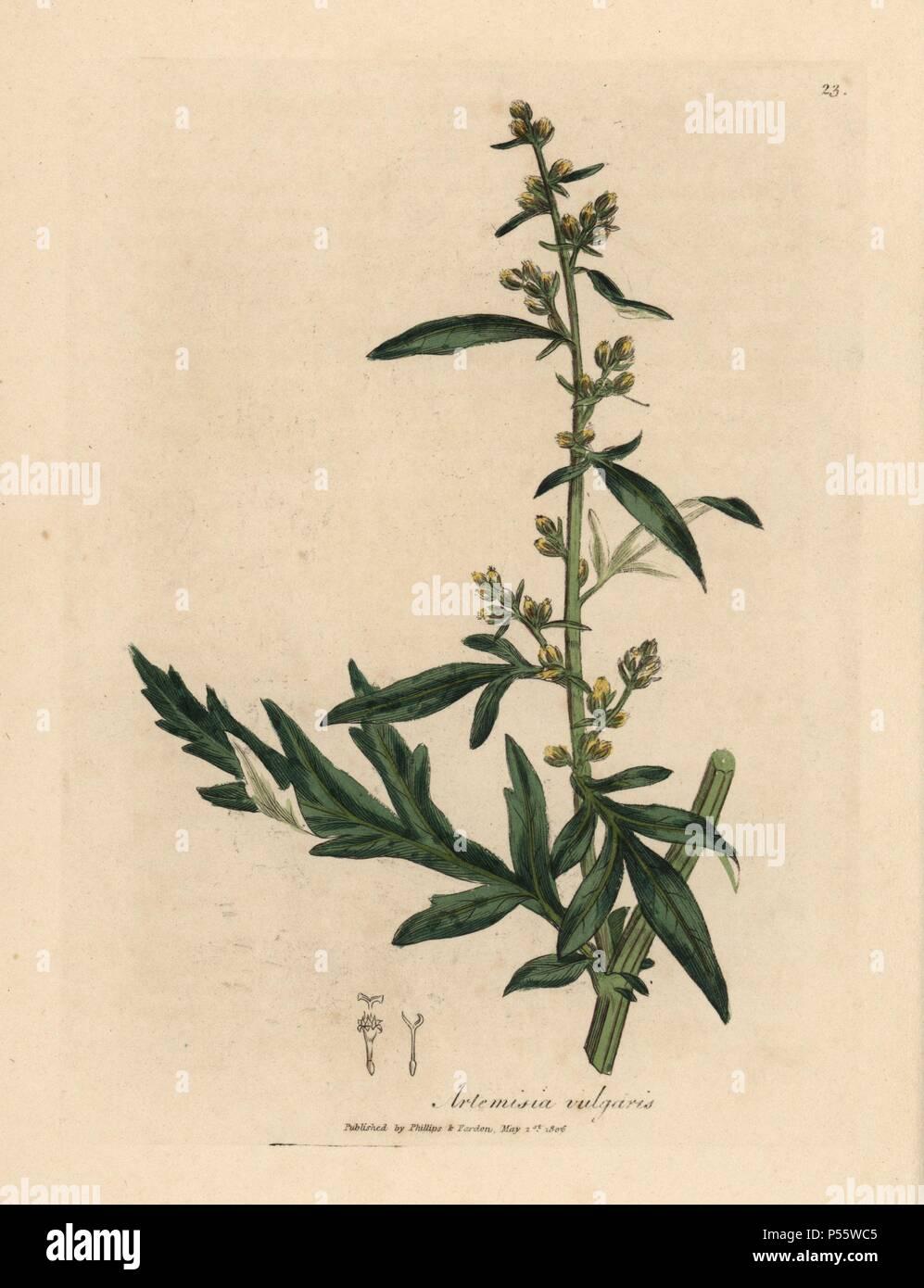 Mugwort Artemisia Vulgaris Handcoloured Copperplate