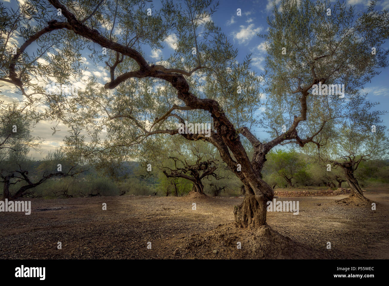 Olive trees in La Vall d'Almonacid (Castellon - Spain) - Stock Image