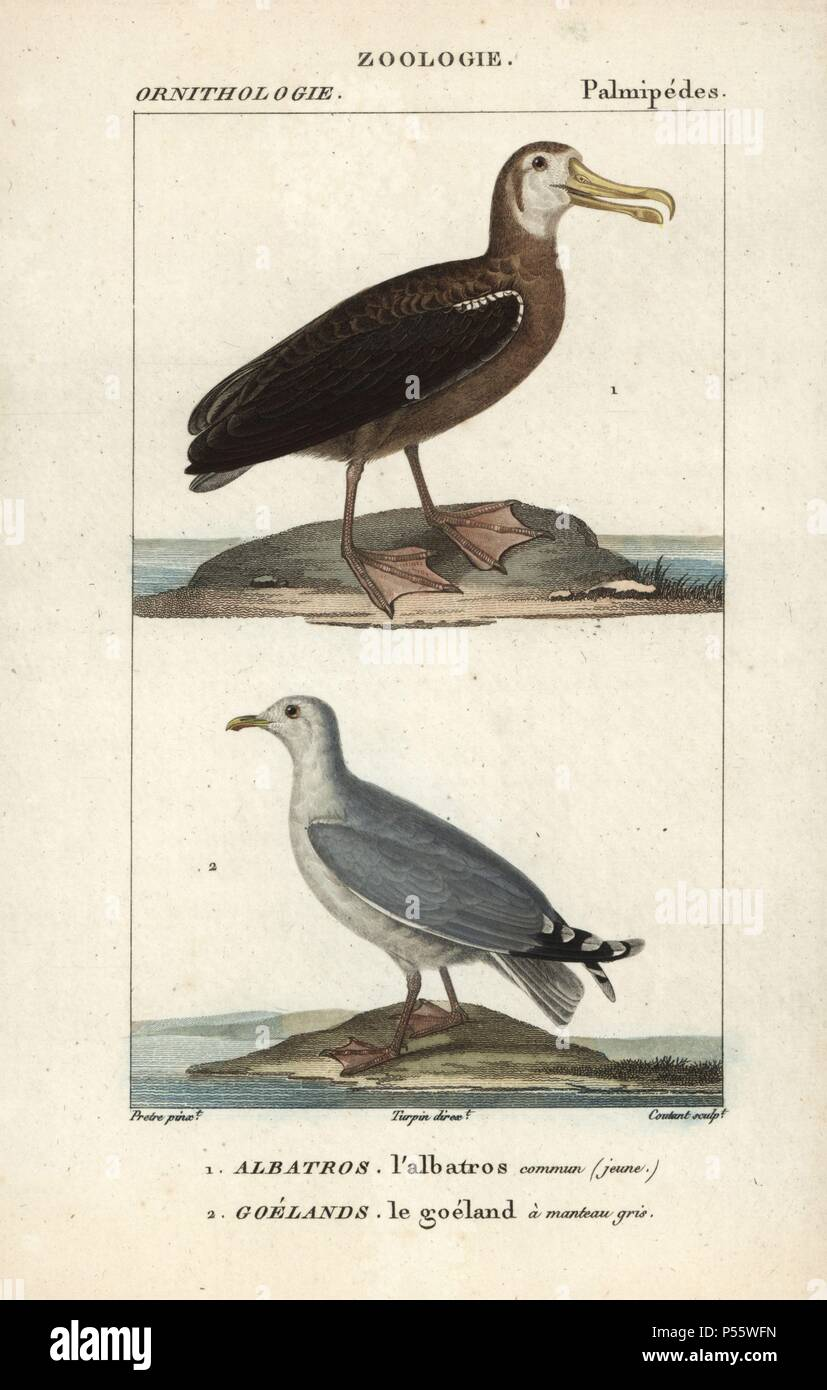 Wandering albatross, Diomedea exulans (vulnerable), and gull, Larus canus. Handcoloured copperplate stipple engraving from Dumont de Sainte-Croix's 'Dictionary of Natural Science: Ornithology,' Paris, France, 1816-1830. Illustration by J. G. Pretre, engraved by Coutant, directed by Pierre Jean-Francois Turpin, and published by F.G. Levrault. Jean Gabriel Pretre (17801845) was painter of natural history at Empress Josephine's zoo and later became artist to the Museum of Natural History. Turpin (1775-1840) is considered one of the greatest French botanical illustrators of the 19th century. - Stock Image