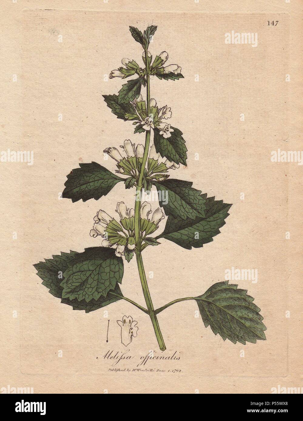 Lemon balm, Melissa officinalis. Handcolored copperplate engraving from a botanical illustration by James Sowerby from William Woodville and Sir William Jackson Hooker's 'Medical Botany' 1832. The tireless Sowerby (1757-1822) drew over 2,500 plants for Smith's mammoth 'English Botany' (1790-1814) and 440 mushrooms for 'Coloured Figures of English Fungi ' (1797) among many other works. - Stock Image