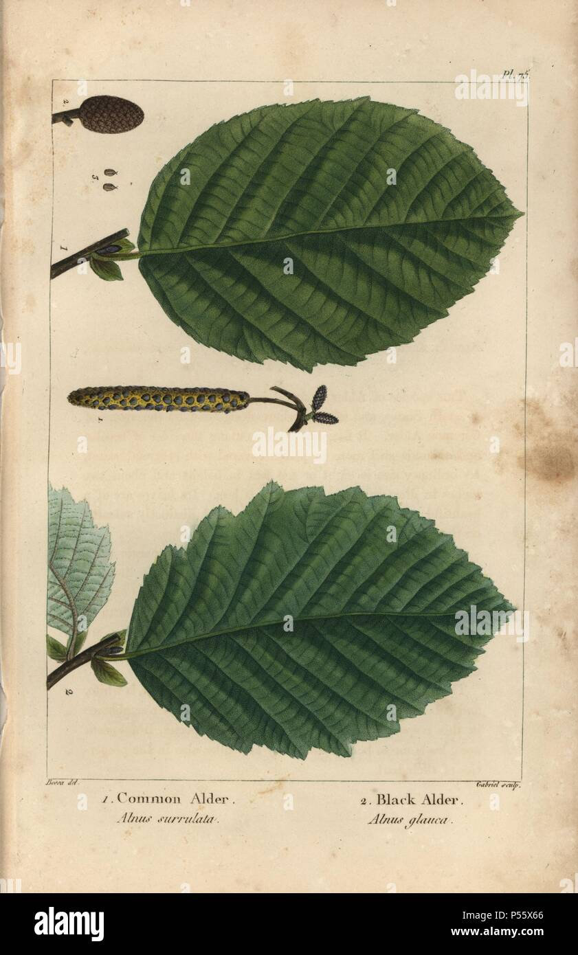 Leaves, aments and seed of the common alder tree, Alnus surrulata, and black alder, Alnus glauca. Handcolored, stipple, engraving, botanical, illustration, Pierre, Joseph, Redoute, Henri, Joseph, Redoute, Pancrace, Bessa, engraved, copperplate, Gabriel, Francois, Andre, Michaux, North, American, Sylva, Philadelphia, 1857, America, Canada, trees, wood, timber,. - Stock Image