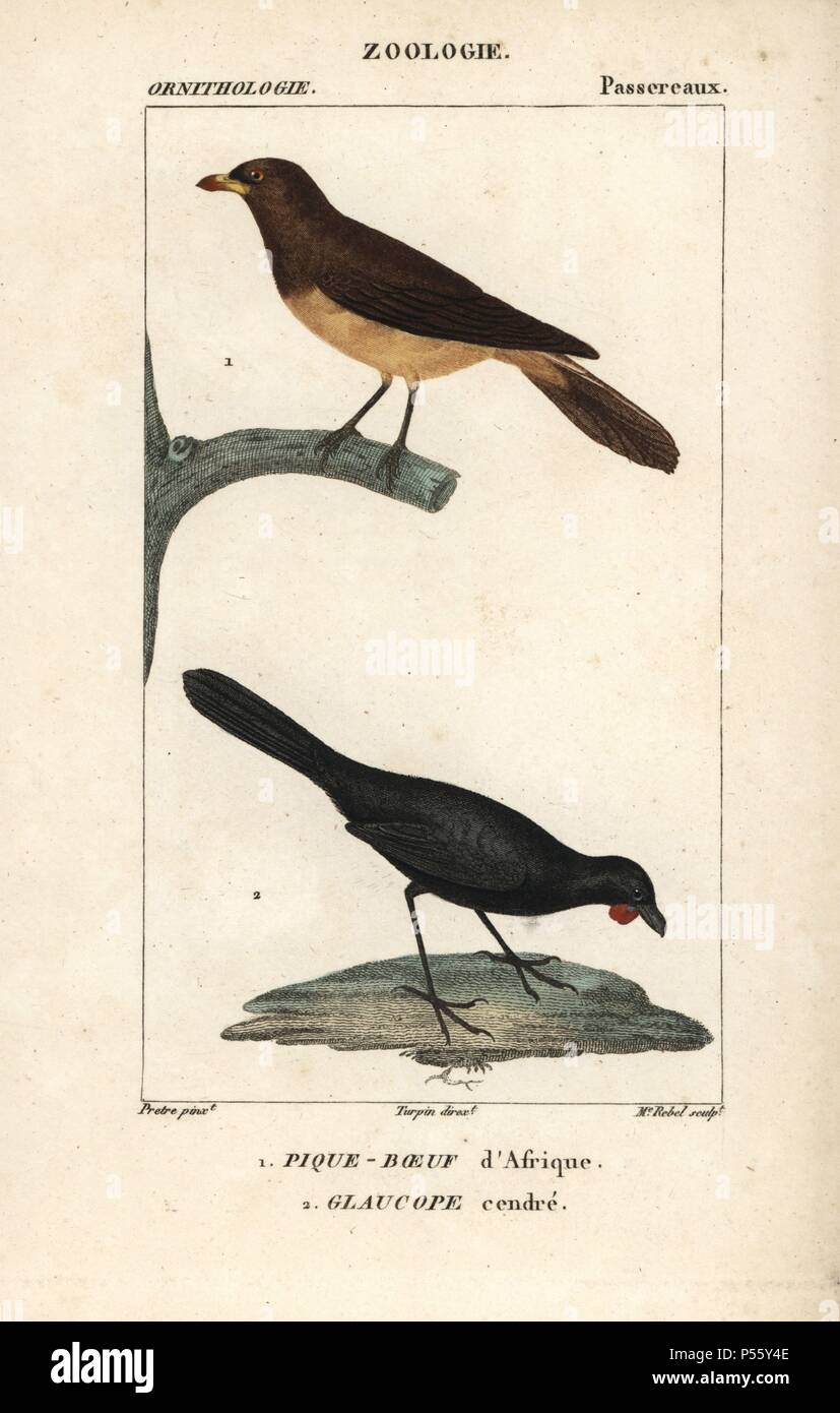 """Yellow-billed oxpecker, Buphagus africanus, and orange-wattled kokako, Callaeas cinerea cinerea (extinct). Handcoloured copperplate stipple engraving from Dumont de Sainte-Croix's """"Dictionary of Natural Science: Ornithology,"""" Paris, France, 1816-1830. Illustration by J. G. Pretre, engraved by Madame Rebel, directed by Pierre Jean-Francois Turpin, and published by F.G. Levrault. Jean Gabriel Pretre (1780~1845) was painter of natural history at Empress Josephine's zoo and later became artist to the Museum of Natural History. Turpin (1775-1840) is considered one of the greatest French botanical i Stock Photo"""