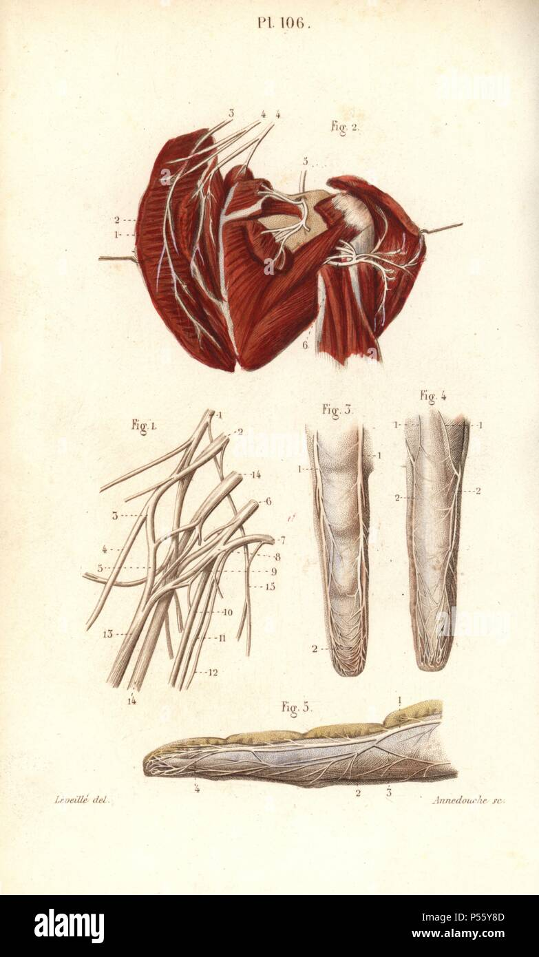 Nerves To The Brachial Plexus And The Finger Handcolored Steel