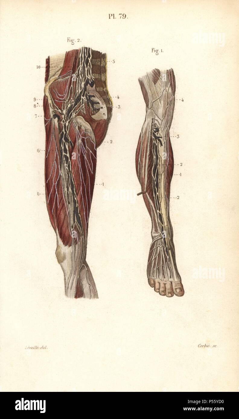 Lymph Nodes And Vessels Deep In The Leg Handcolored Steel Engraving