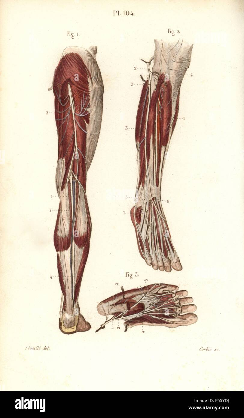 Saphenous And Medial Plantar Nerves Handcolored Steel Engraving By