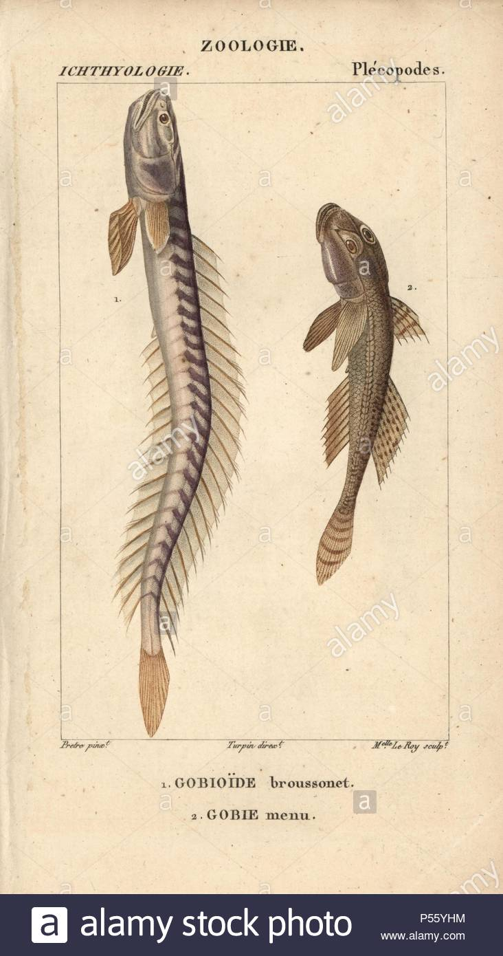 Pictures of mature violet goby