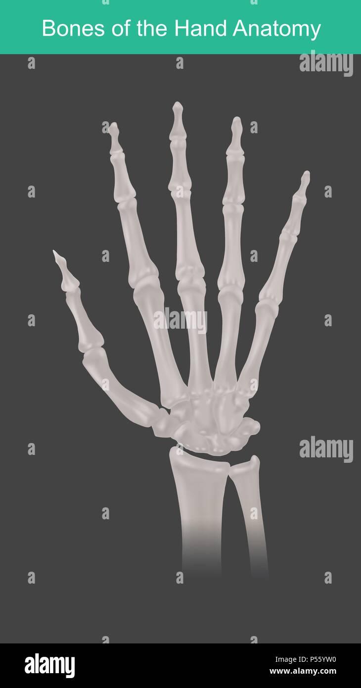 Anatomy of human hand and fingers bones. Top view. - Stock Vector