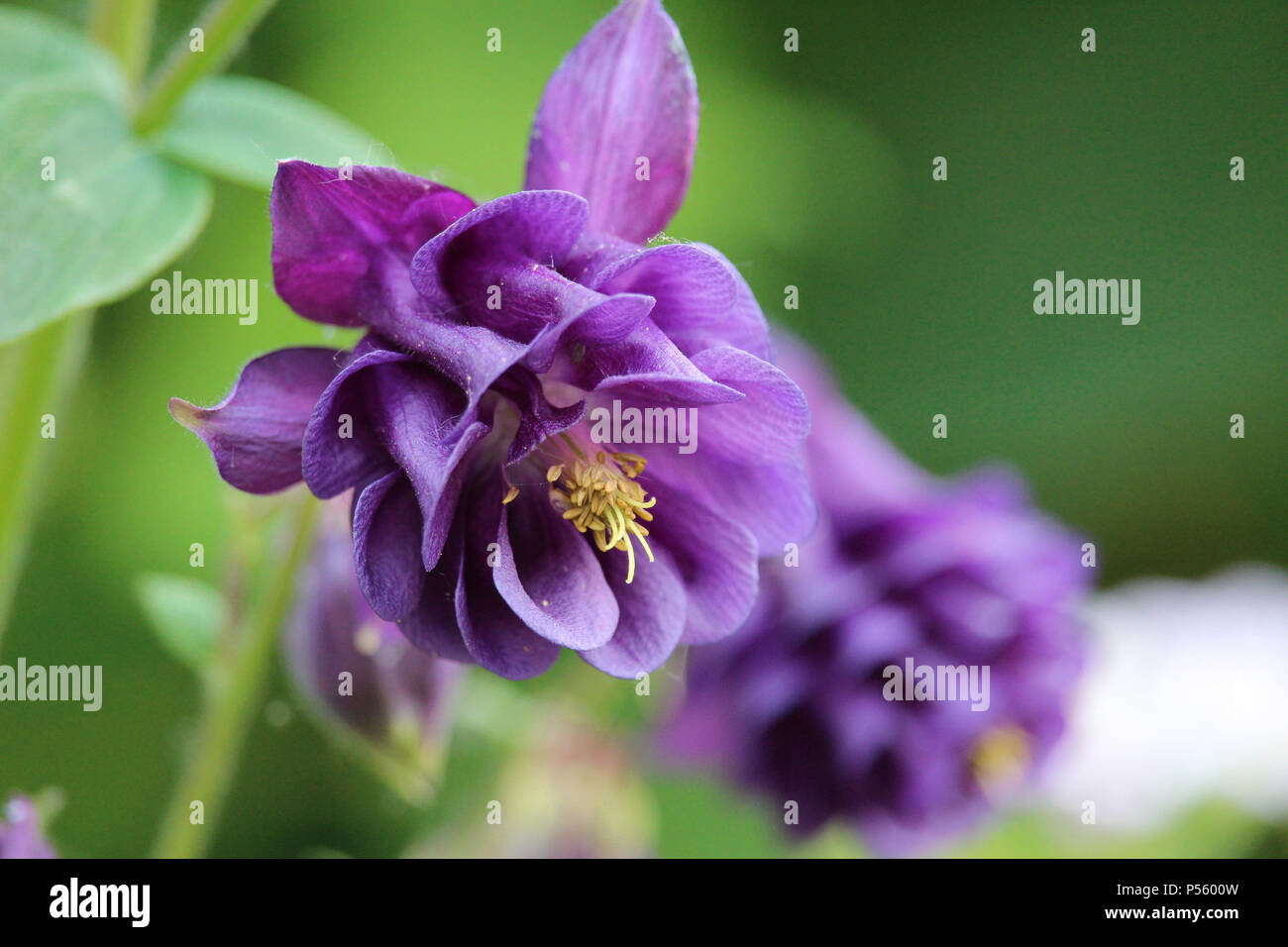 The Beautiful Purple Flowers Of An Aquilegia Also Known As