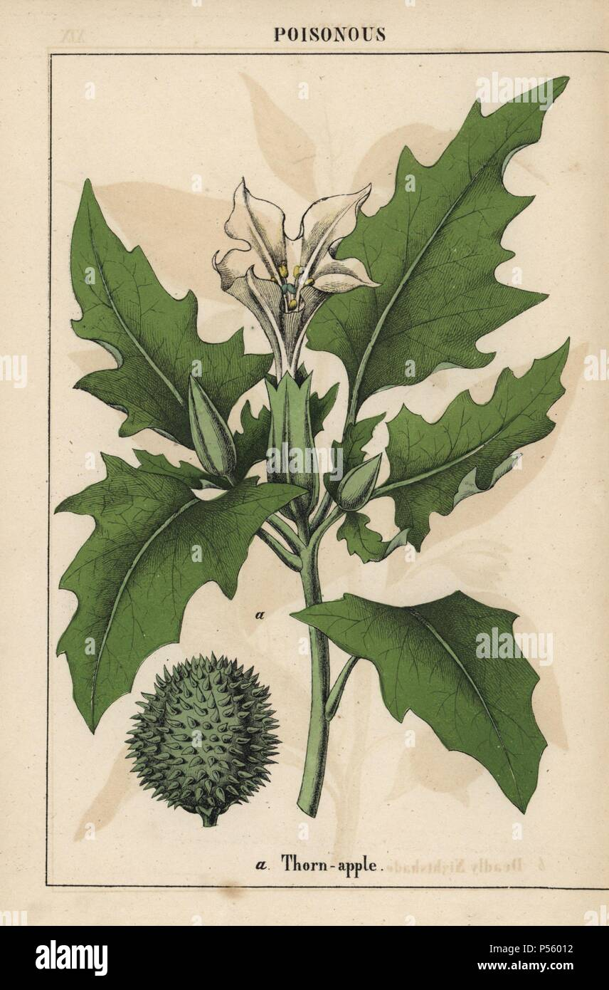 Thorn Apple With White Flowers And Spiny Fruit Chromolithograph