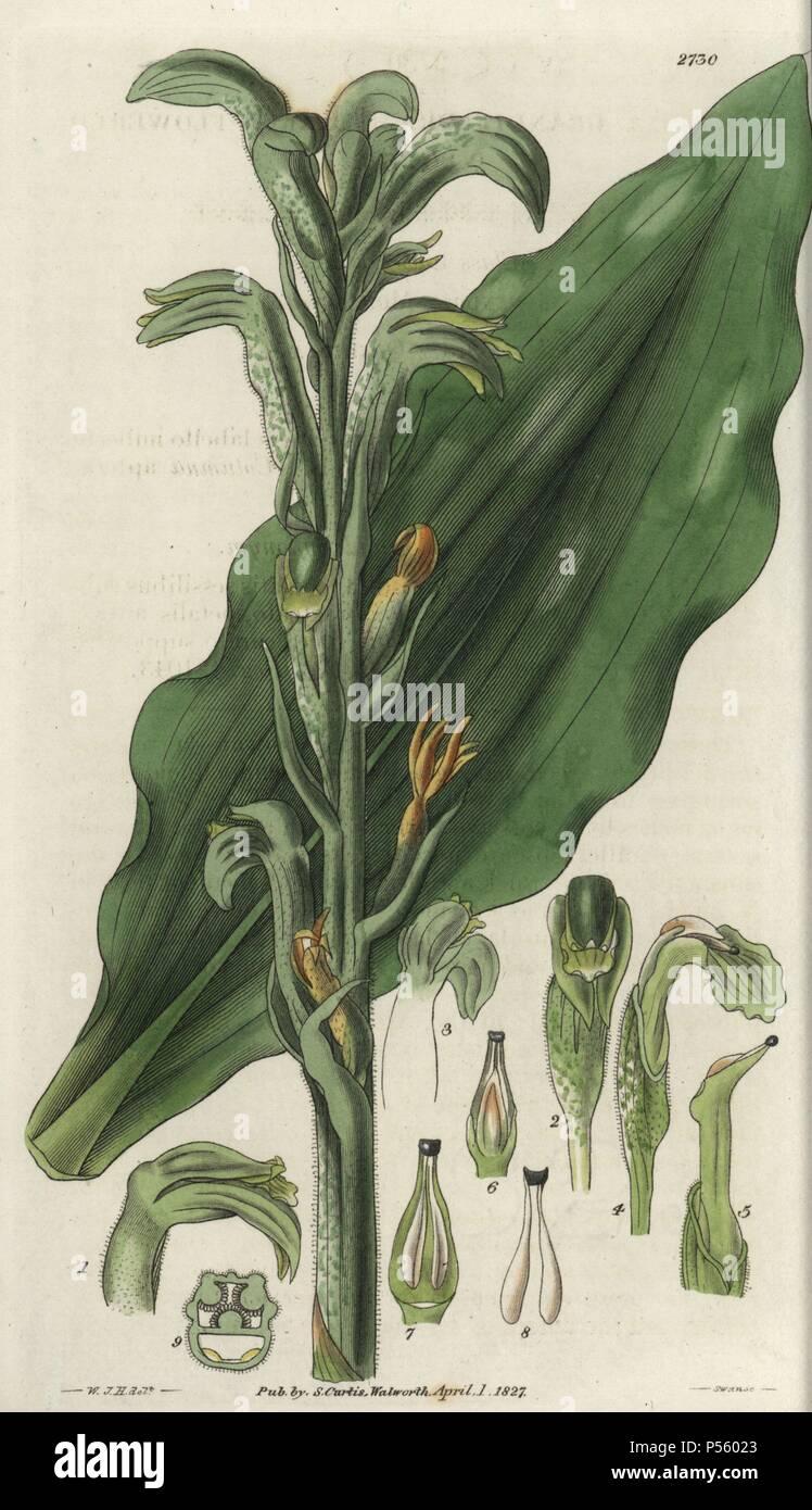 Neottia grandiflora or Sarcoglottis grandiflora  Large