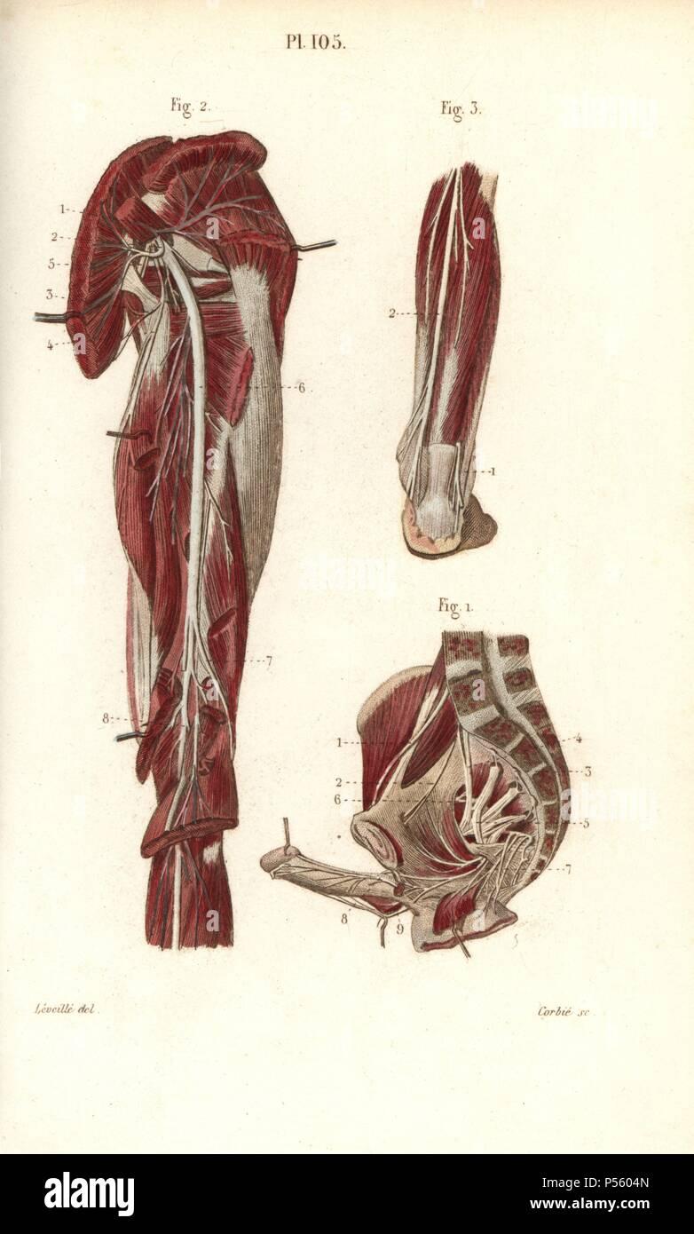 Drawing Anatomy Sacrum Stock Photos Drawing Anatomy Sacrum Stock