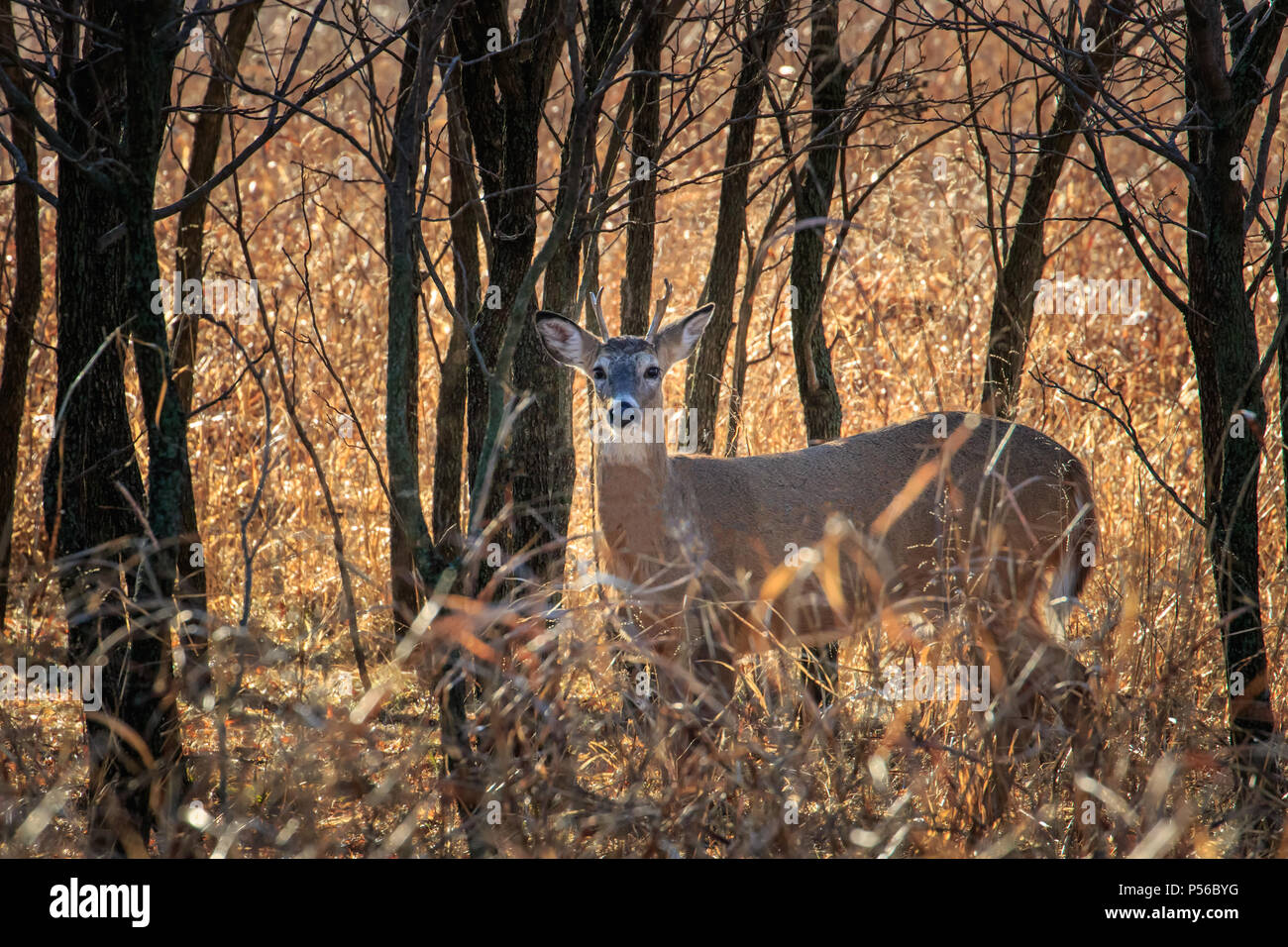 A young White tailed deer (Odocoileus virginianus) buck hiding in a winter forest. - Stock Image