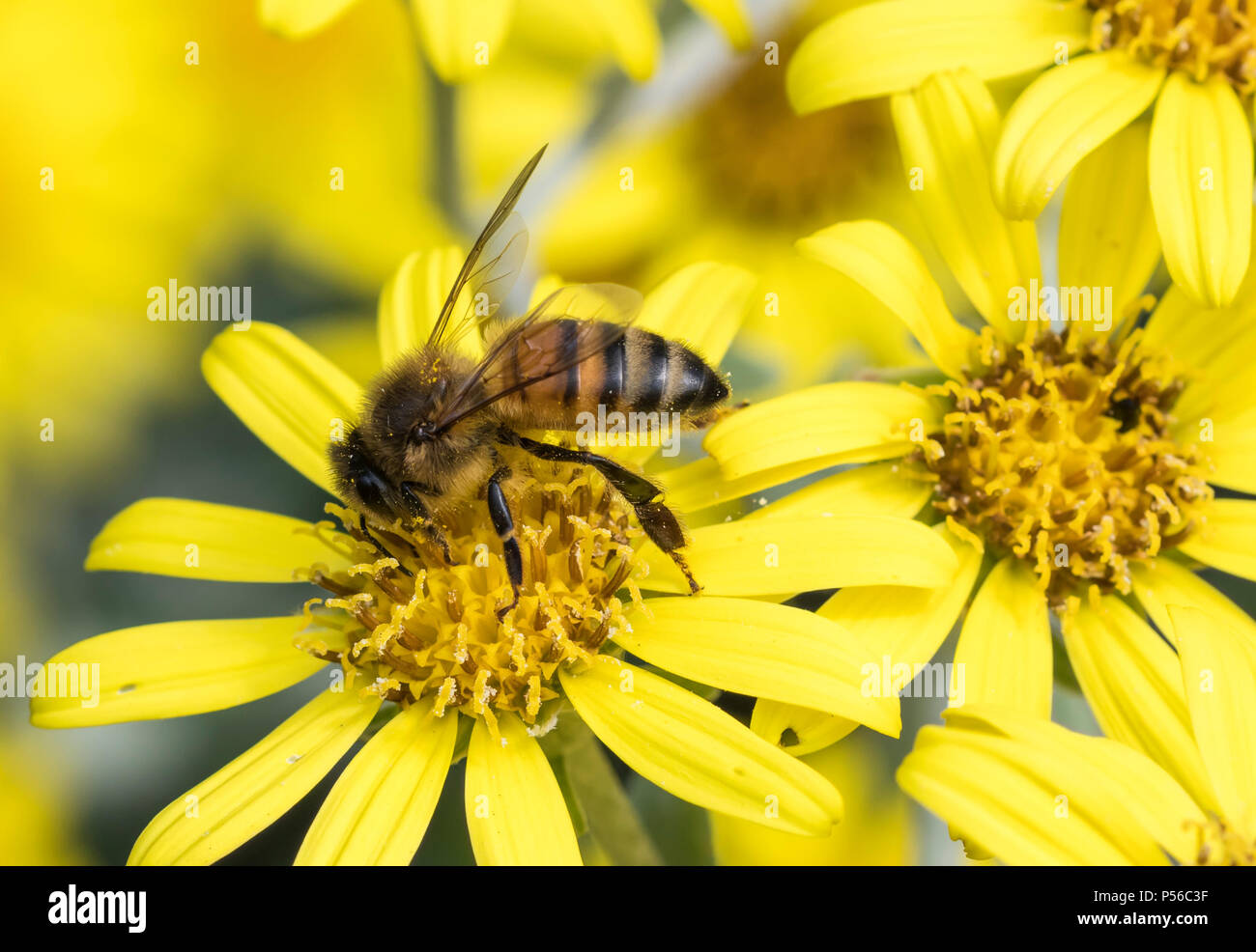 Western Honey Bee (Apis mellifera) on a yellow flower in Summer in West Sussex, England, UK.Pollination. Pollinating. - Stock Image