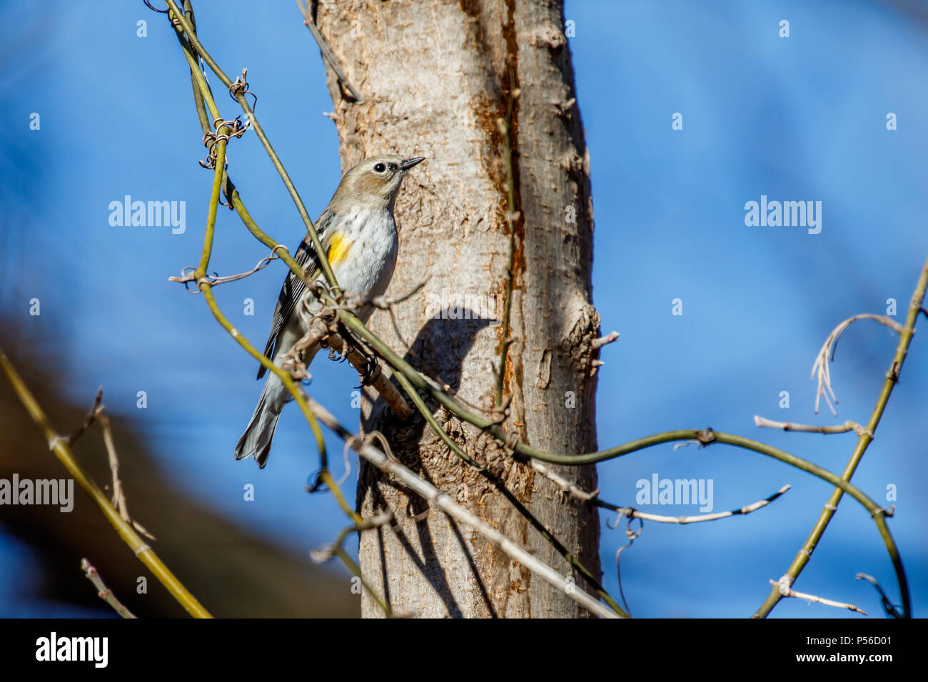 Yrllow Rumped Warbler (Setophaga coronata) perched in a winter tree. - Stock Image