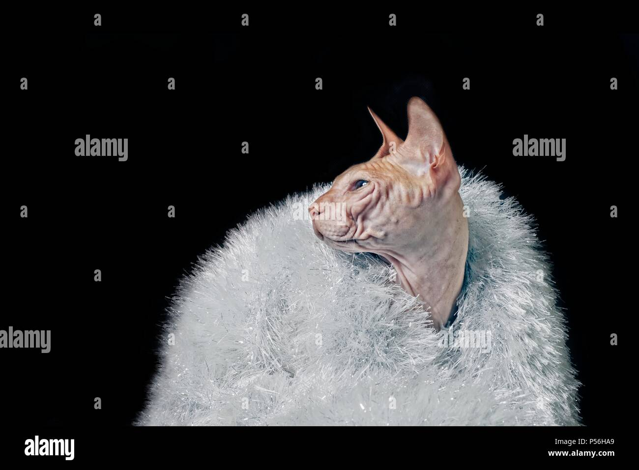 Portrait Of a sphynx cat wearing tinsel - isolated on black background. - Stock Image