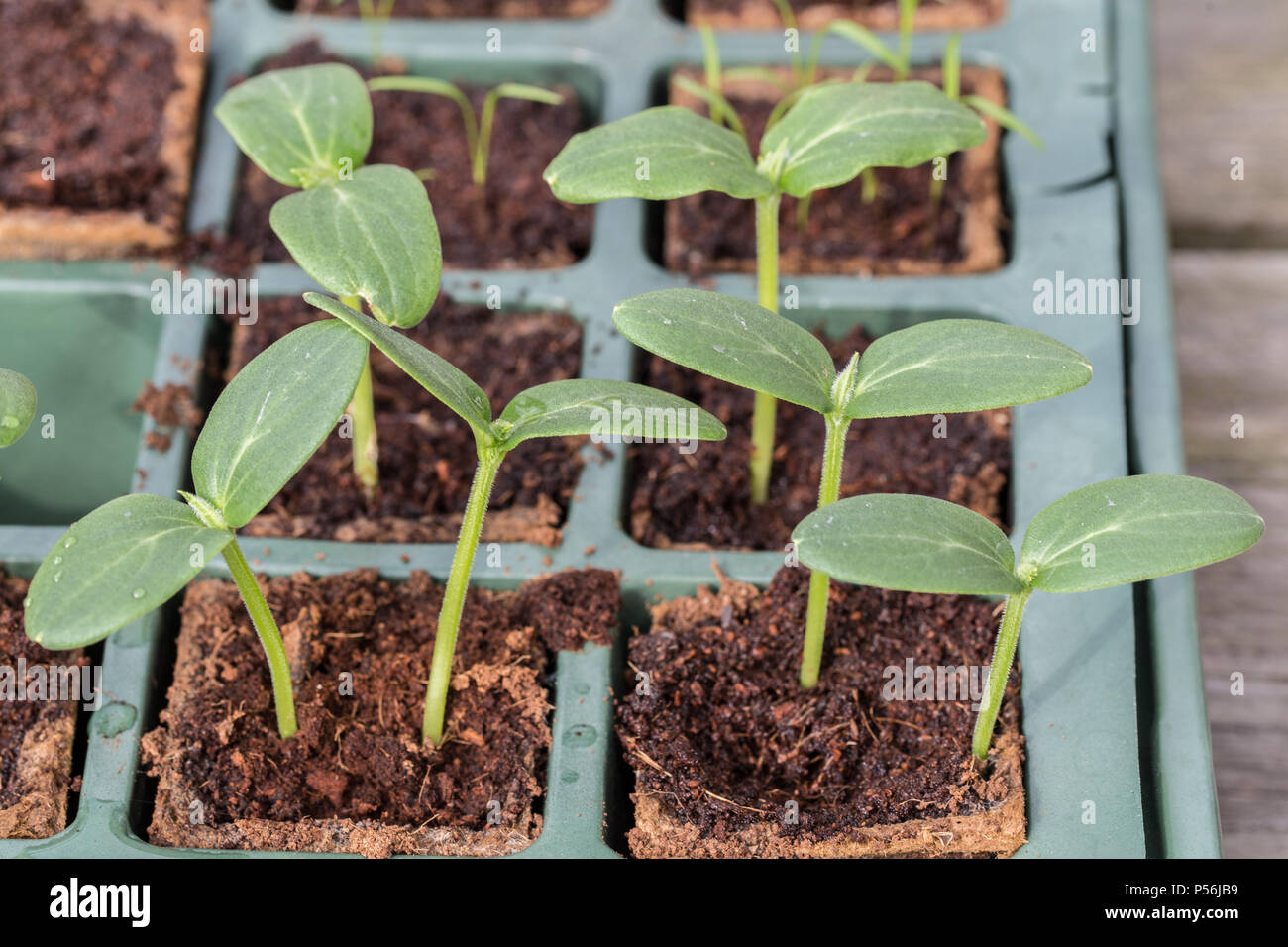 Young Komkommer or cucumber plants in a breeding tray Stock Photo