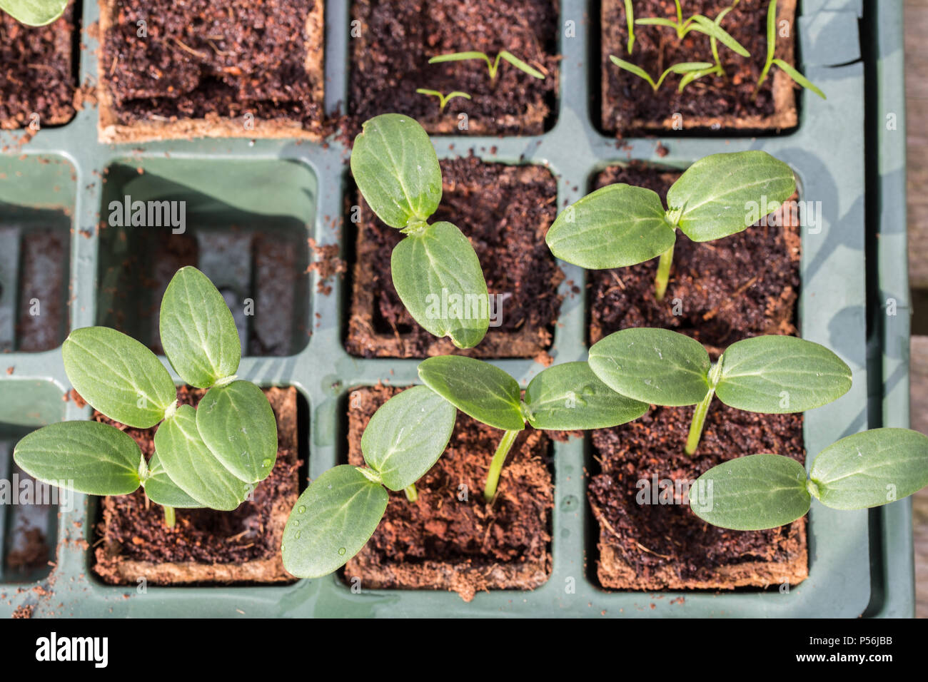 Young Komkommer or cucumber plants in a breeding tray - Stock Image