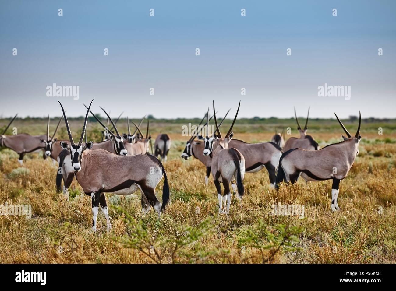 gemsboks - Stock Image