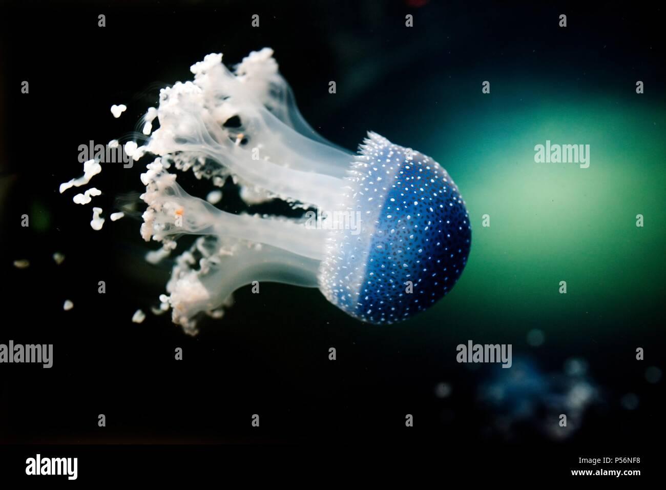 jellyfish - Stock Image