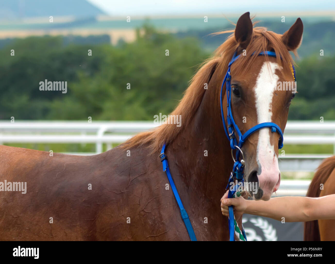 Portrait of a thoroughbred horse after horse racing  for the Great Summer Prize in Pyatigorsk,Caucasus,Russia. - Stock Image