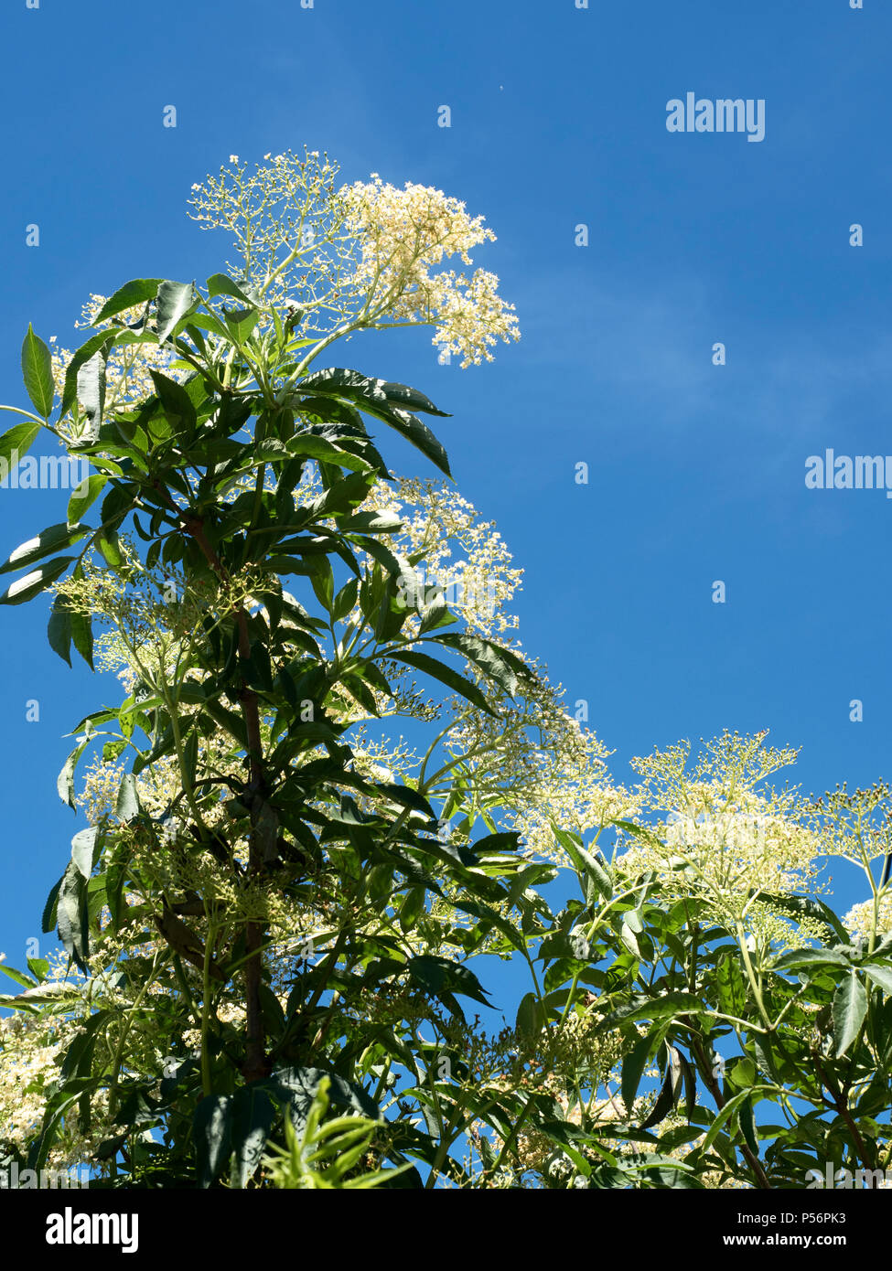 White elderflowers in a hedgerow against a blue sky at Knaresborough North Yorkshire England - Stock Image