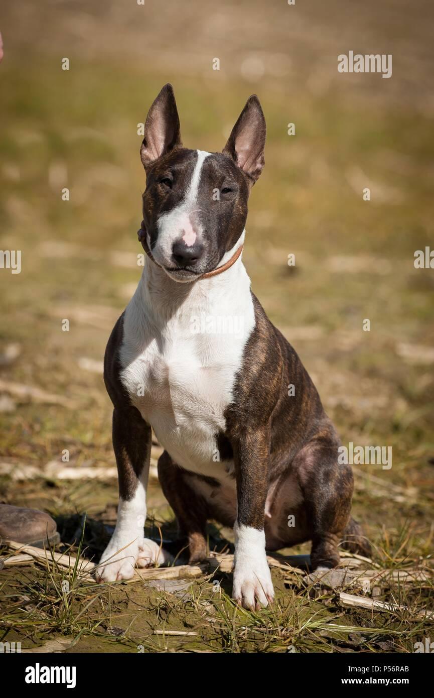 Coloured Bull Terrier Stock Photos & Coloured Bull Terrier