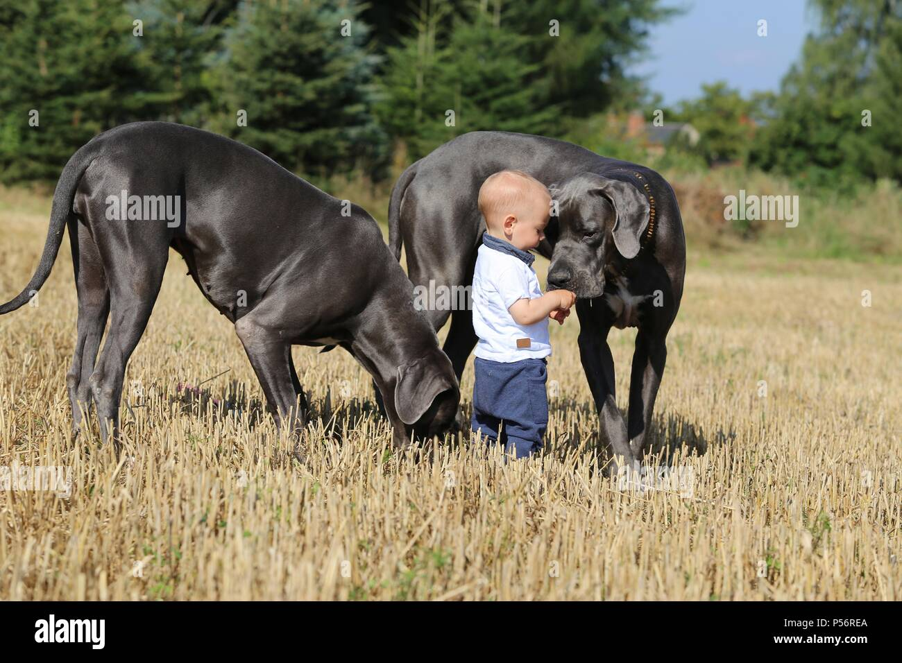 child and Great Danes - Stock Image