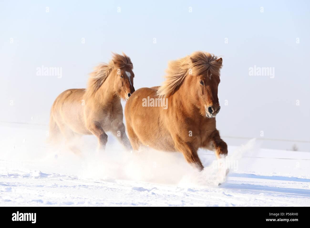2 Icelandic horses - Stock Image
