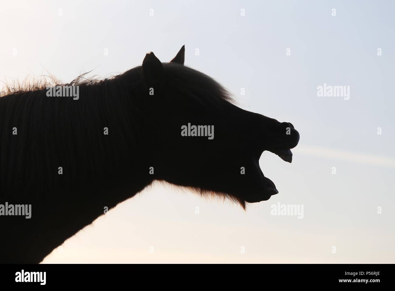 Icelandic horse at sunset - Stock Image